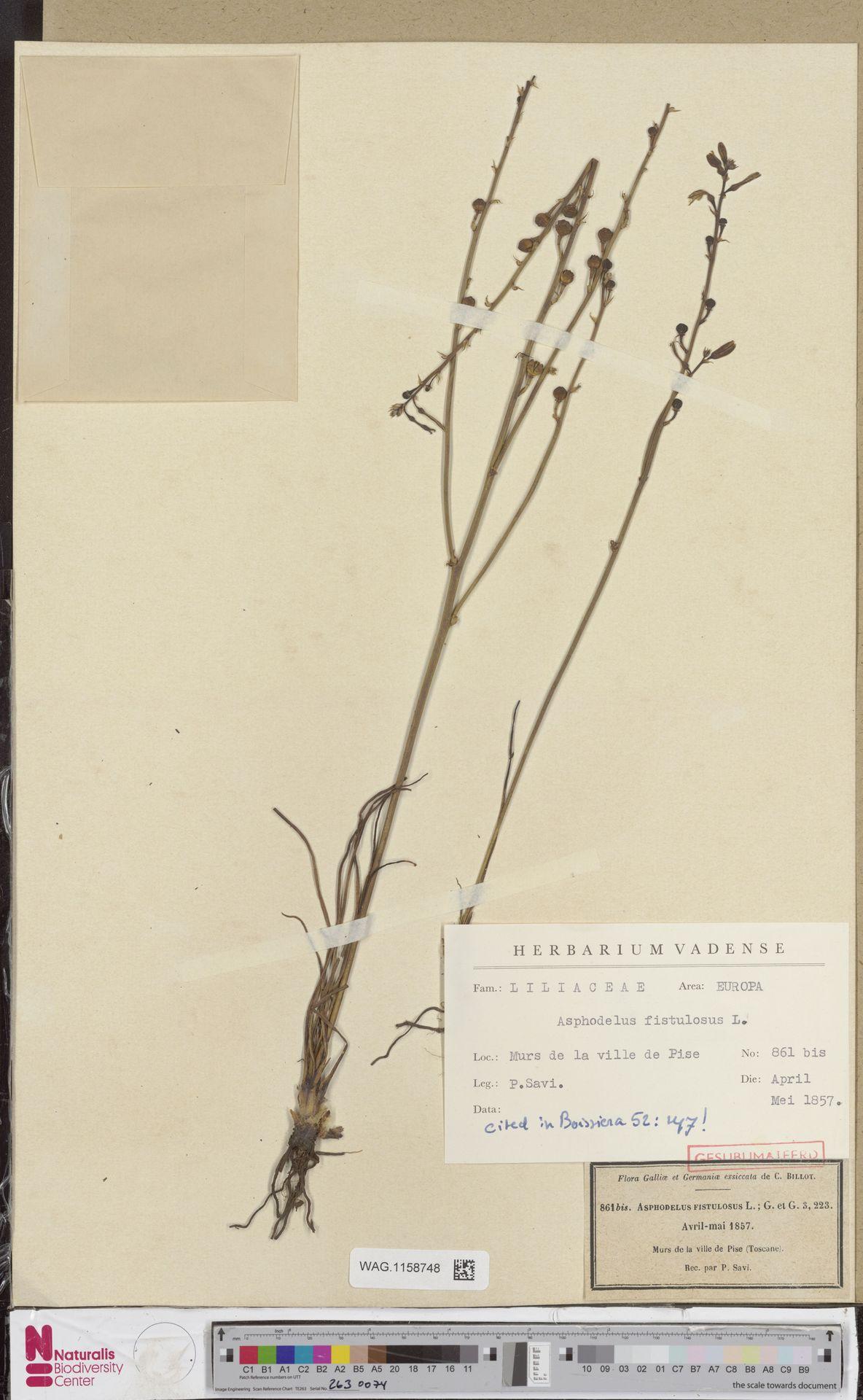 WAG.1158748 | Asphodelus fistulosus L.