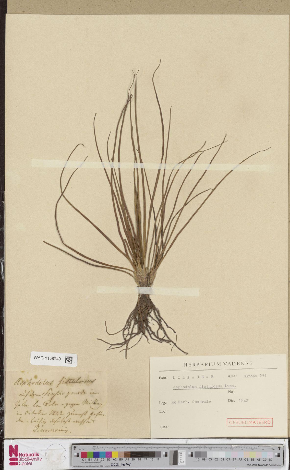 WAG.1158749   Asphodelus fistulosus L.