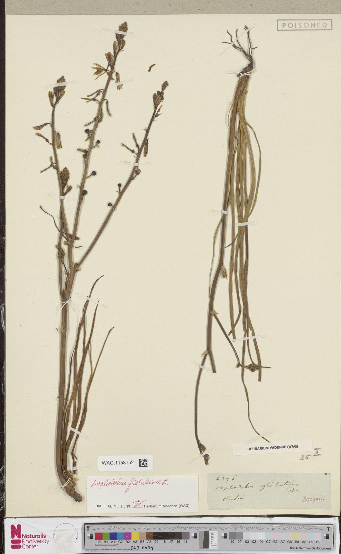 WAG.1158752 | Asphodelus fistulosus L.