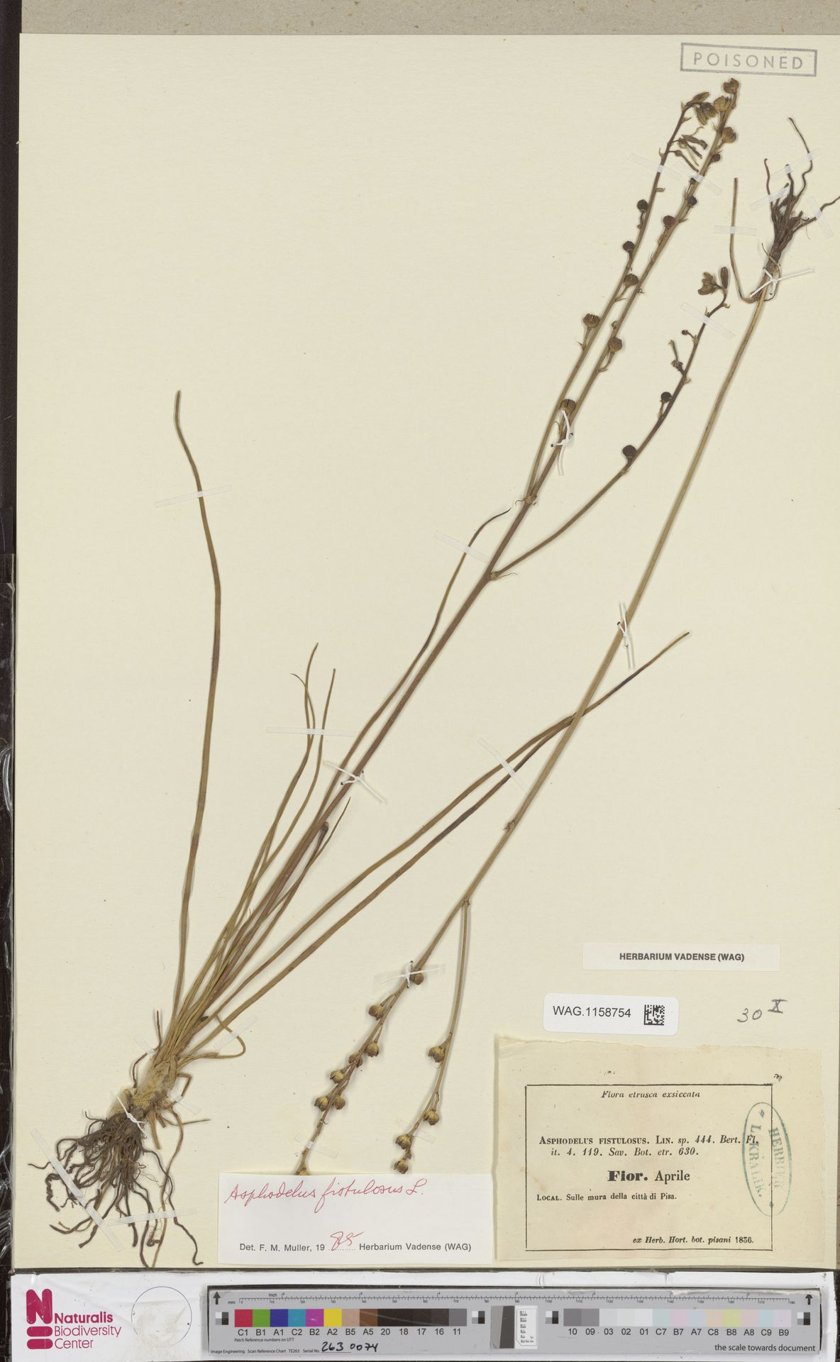 WAG.1158754 | Asphodelus fistulosus L.