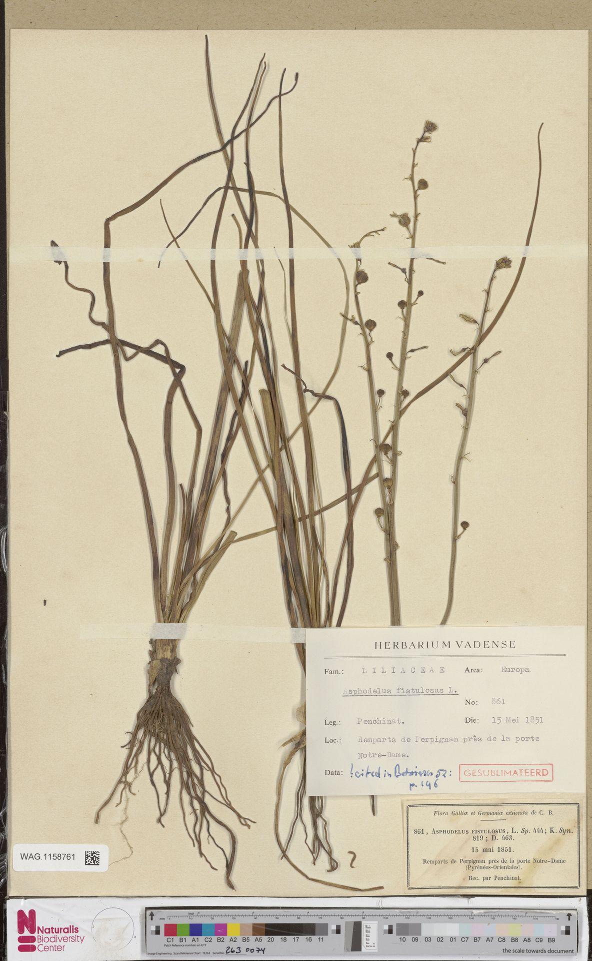 WAG.1158761 | Asphodelus fistulosus L.