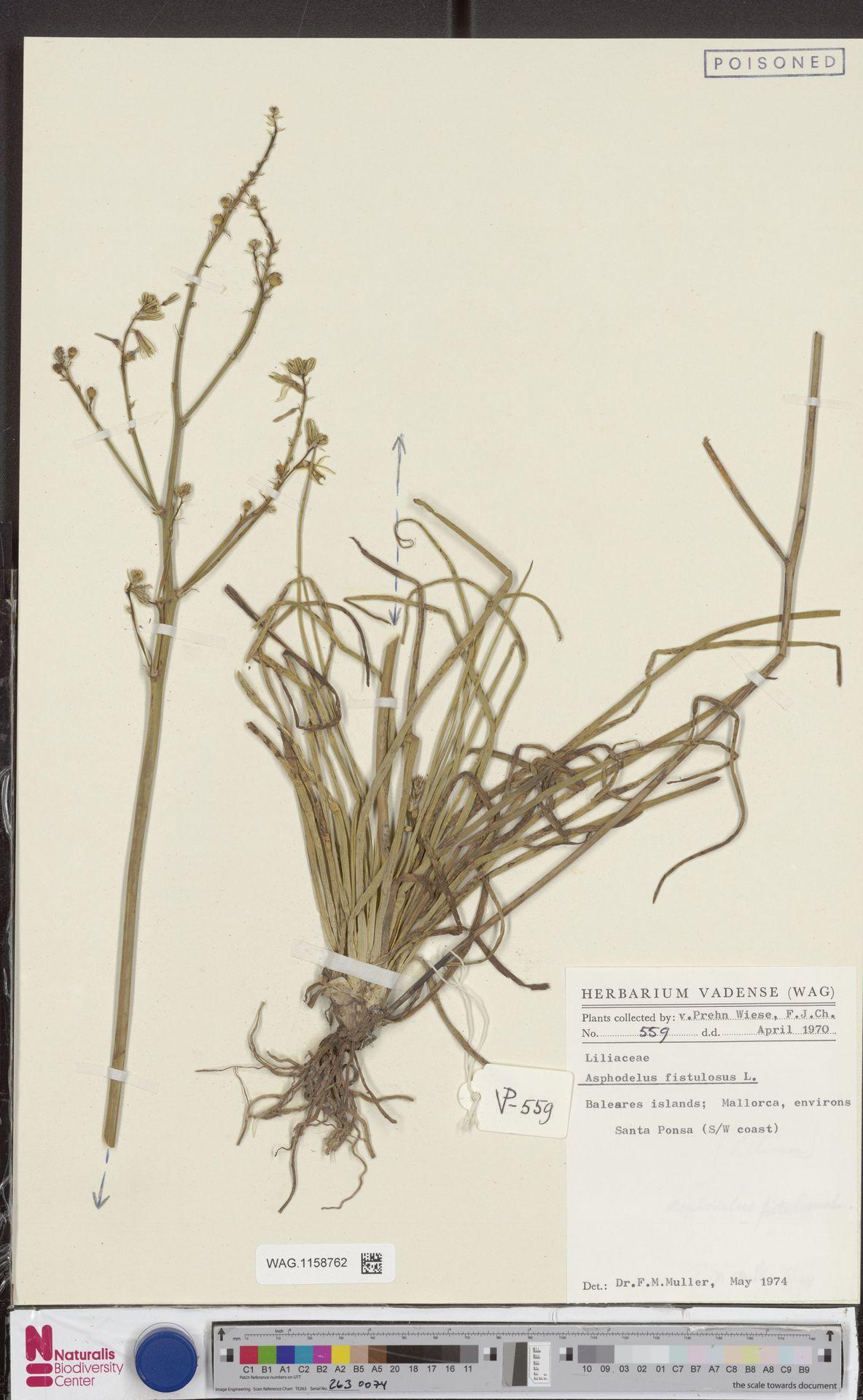 WAG.1158762   Asphodelus fistulosus L.
