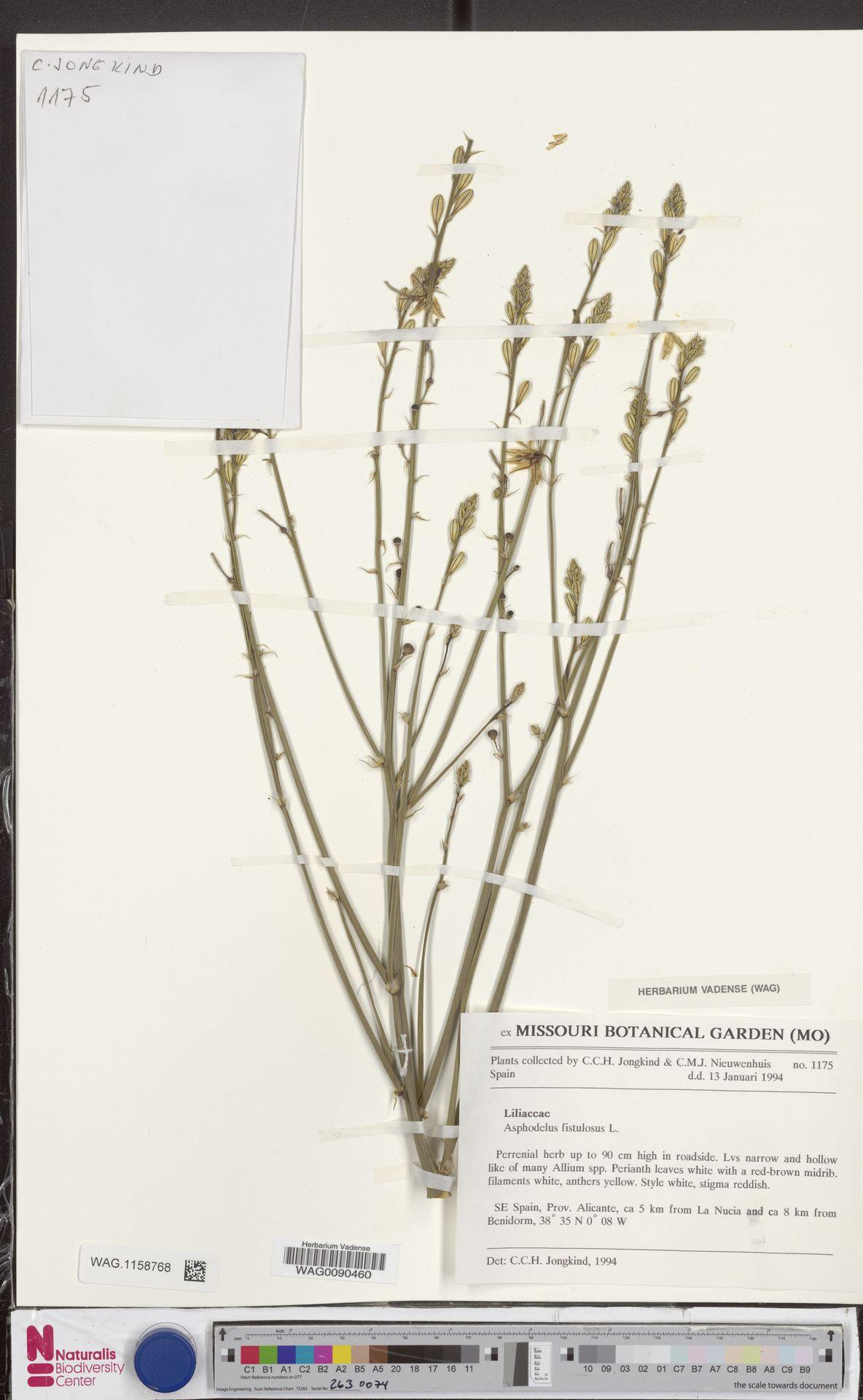 WAG.1158768   Asphodelus fistulosus L.