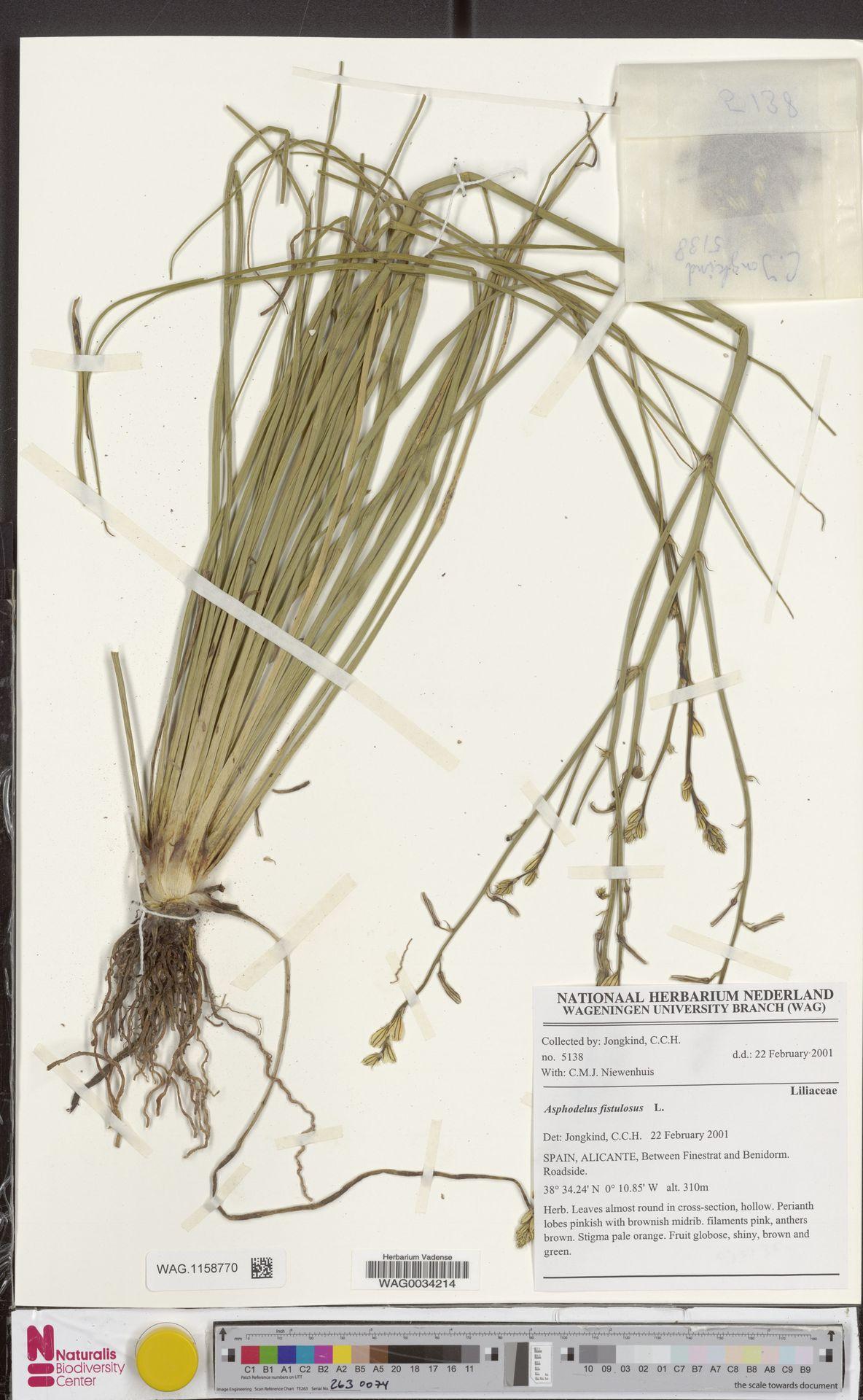 WAG.1158770 | Asphodelus fistulosus L.