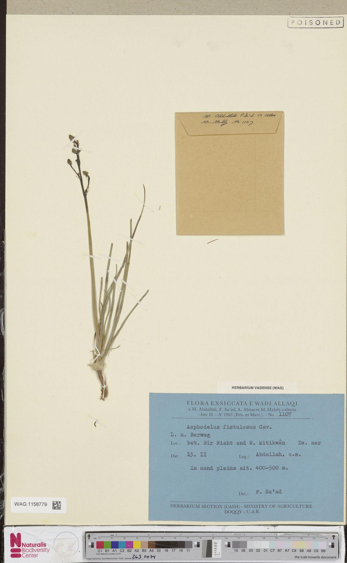 WAG.1158779 | Asphodelus fistulosus L.