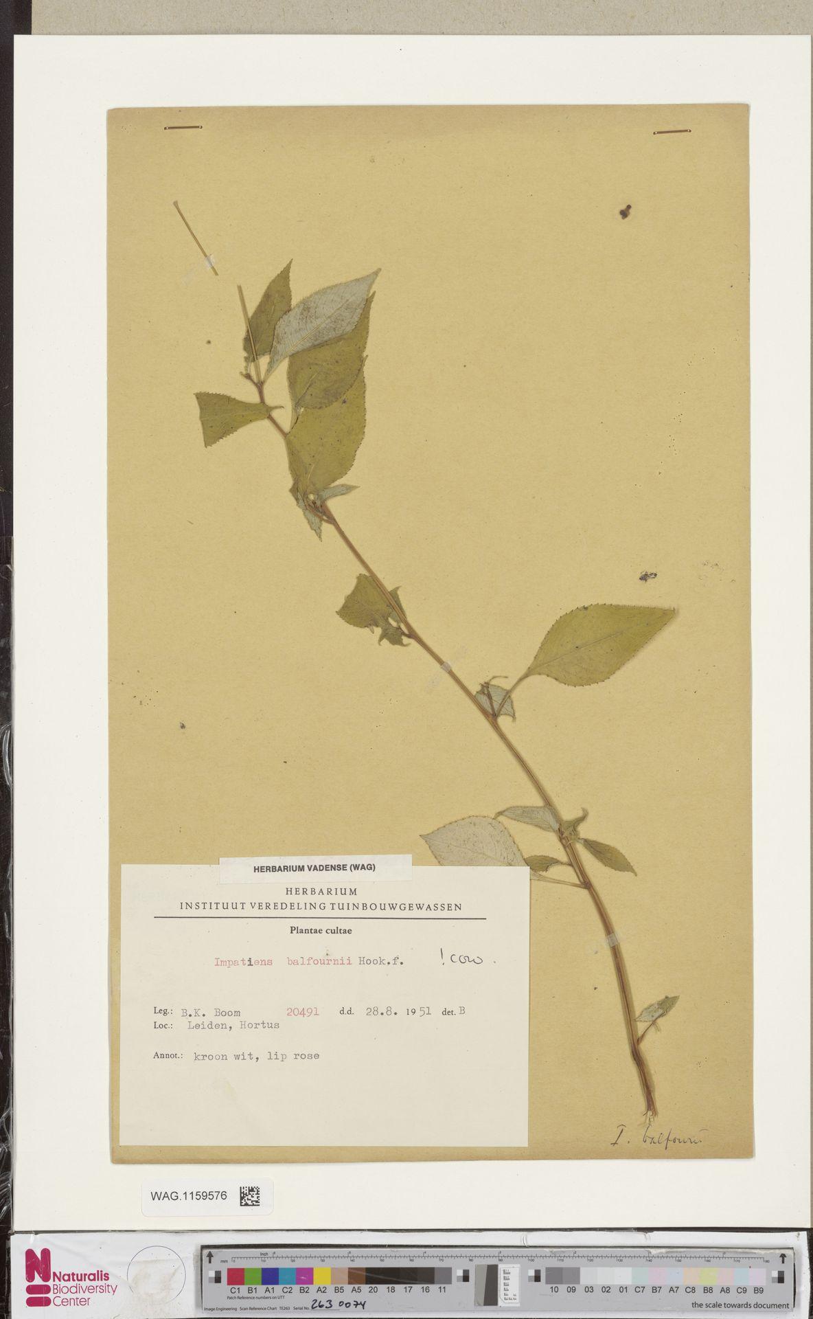 WAG.1159576 | Impatiens balfourii Hook.f.