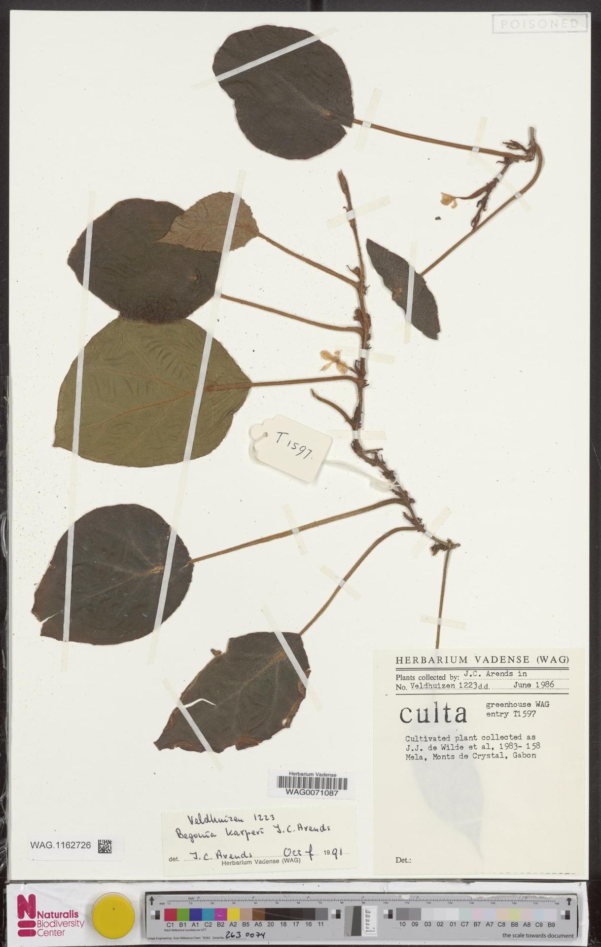 WAG.1162726 | Begonia karperi J.C.Arends