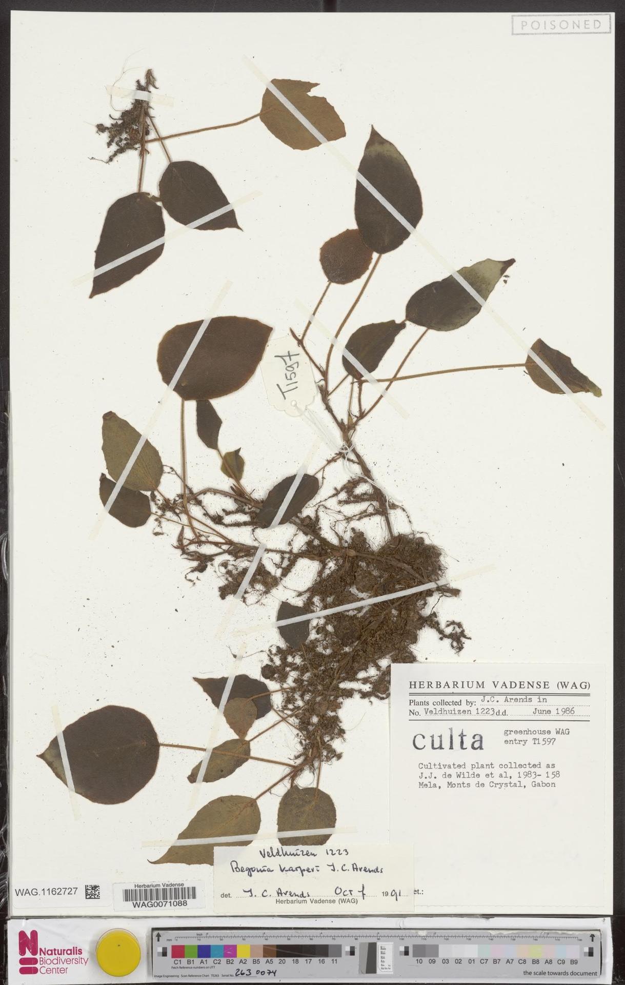 WAG.1162727 | Begonia karperi J.C.Arends