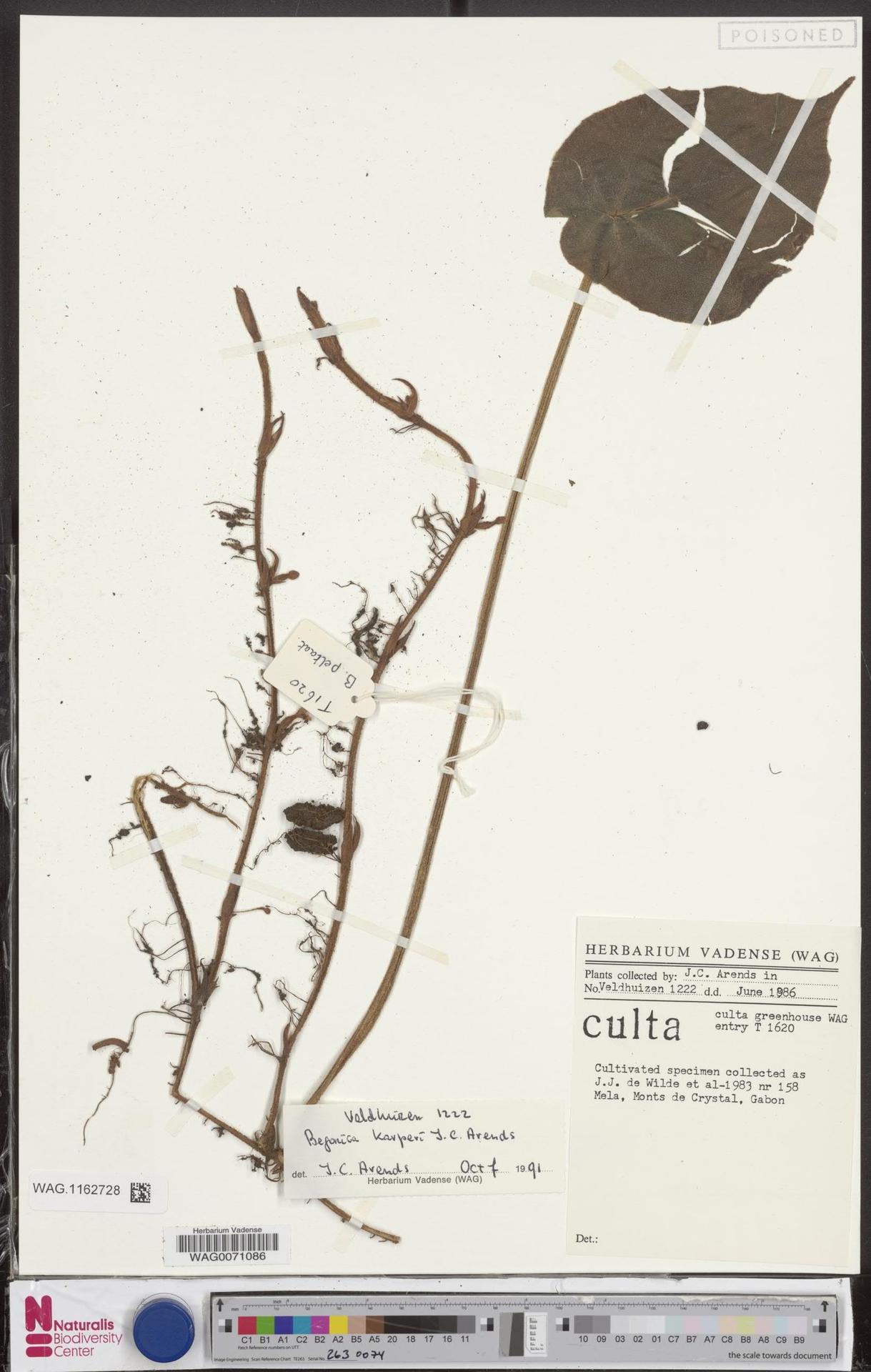 WAG.1162728 | Begonia karperi J.C.Arends