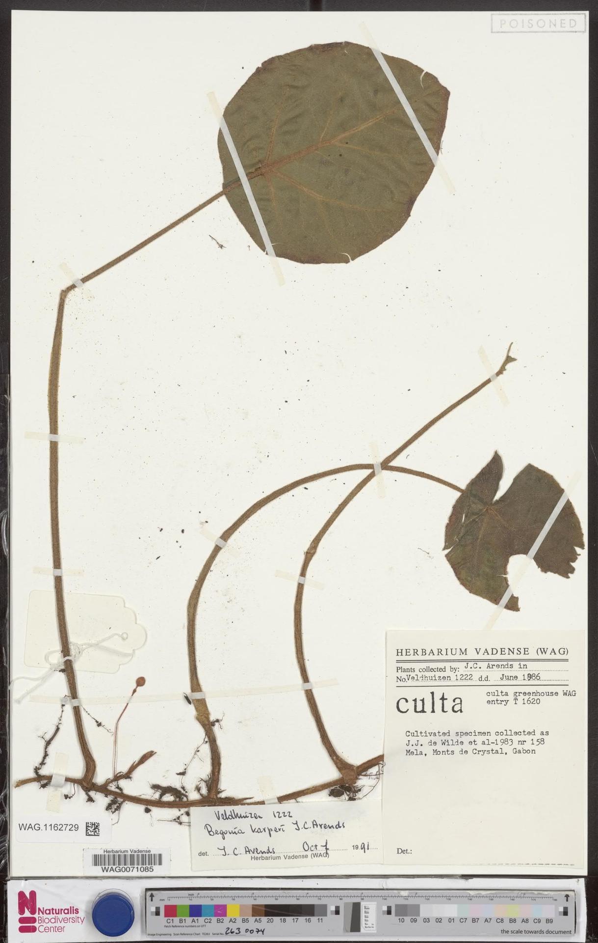 WAG.1162729 | Begonia karperi J.C.Arends