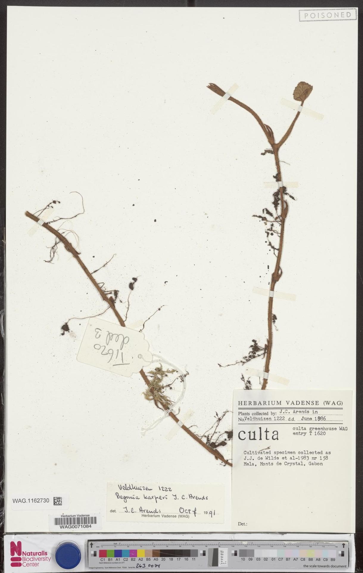 WAG.1162730 | Begonia karperi J.C.Arends