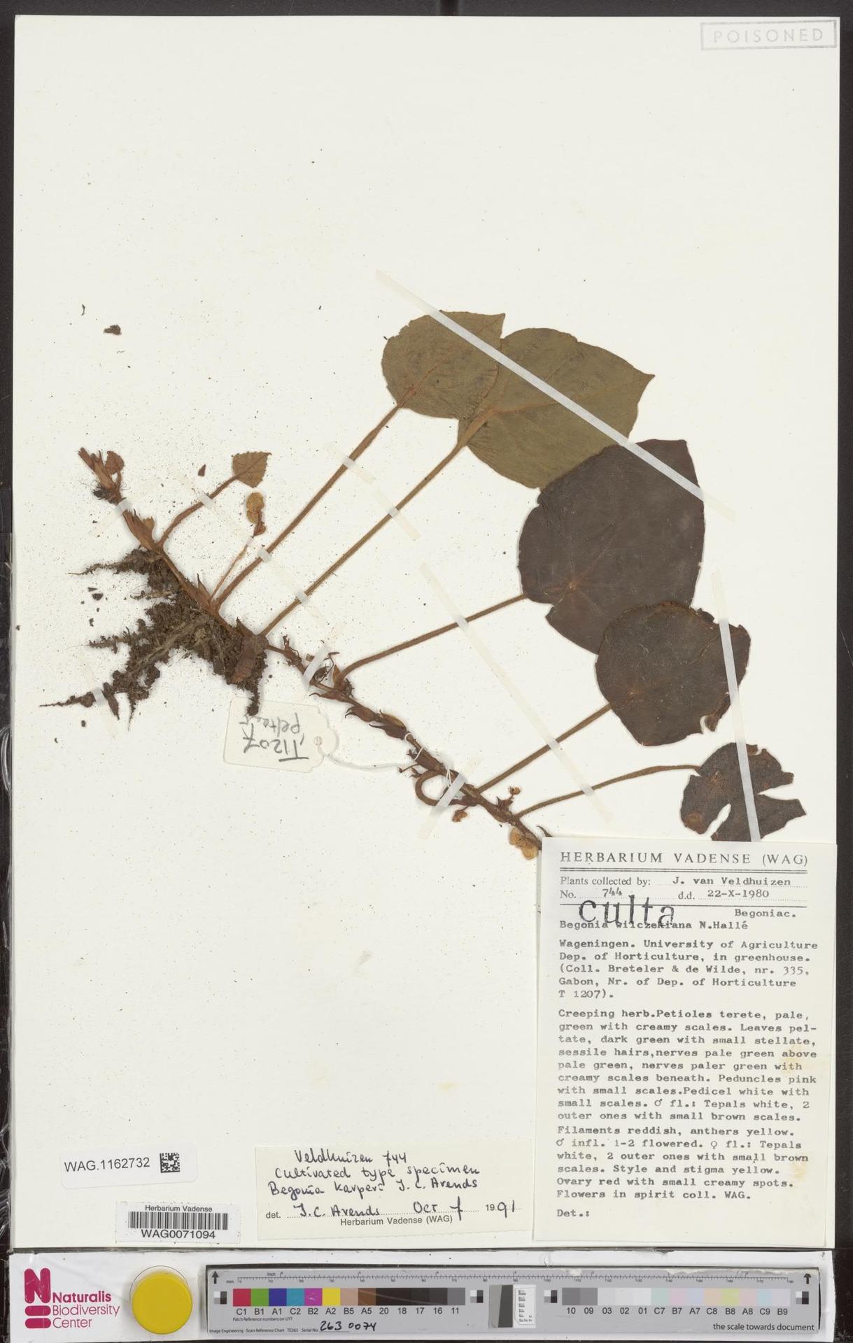 WAG.1162732 | Begonia karperi J.C.Arends