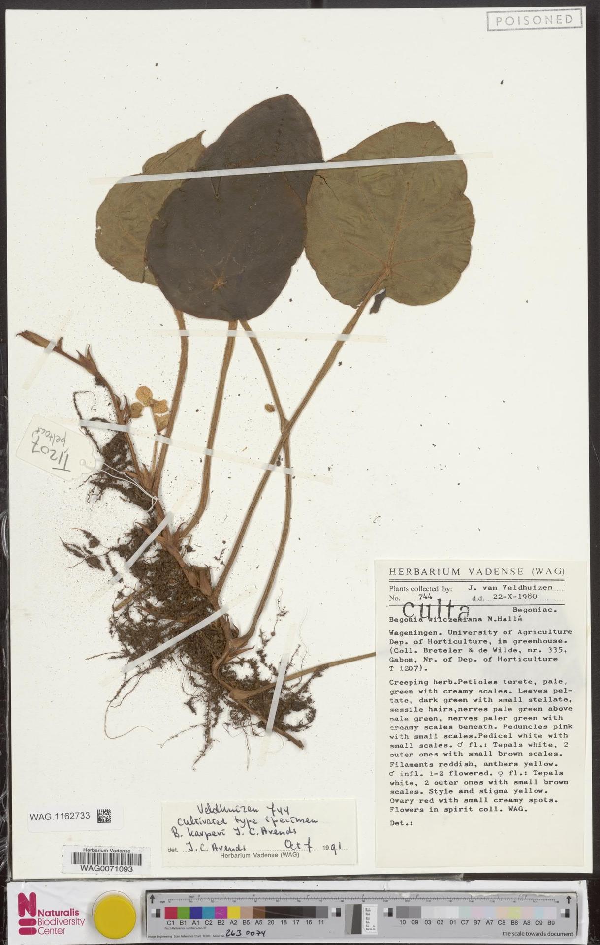 WAG.1162733 | Begonia karperi J.C.Arends