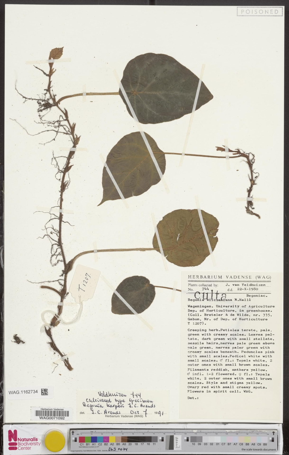 WAG.1162734 | Begonia karperi J.C.Arends