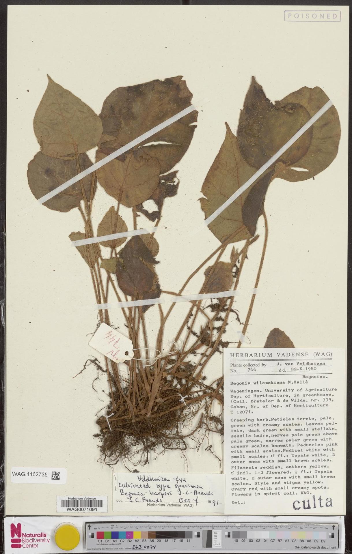 WAG.1162735 | Begonia karperi J.C.Arends