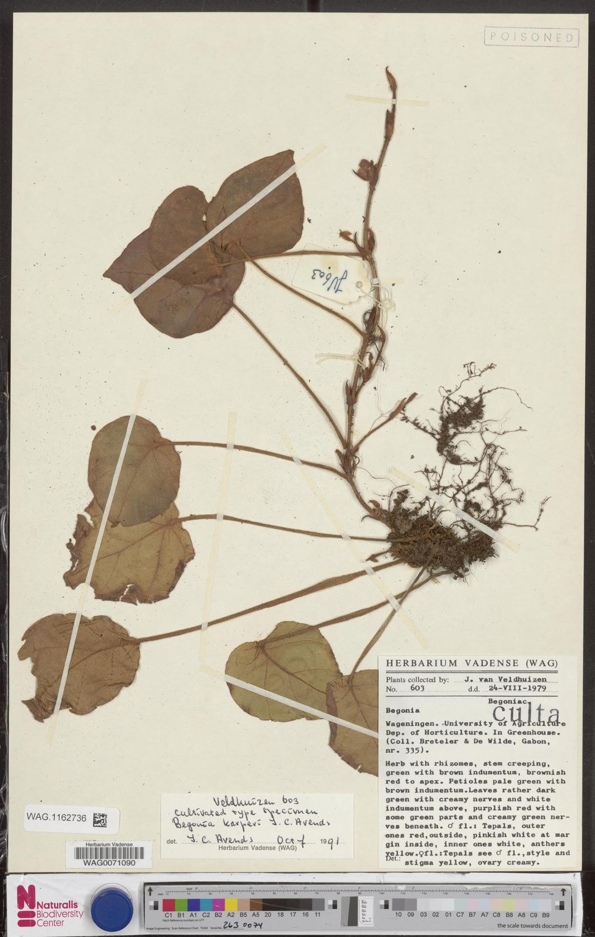 WAG.1162736 | Begonia karperi J.C.Arends