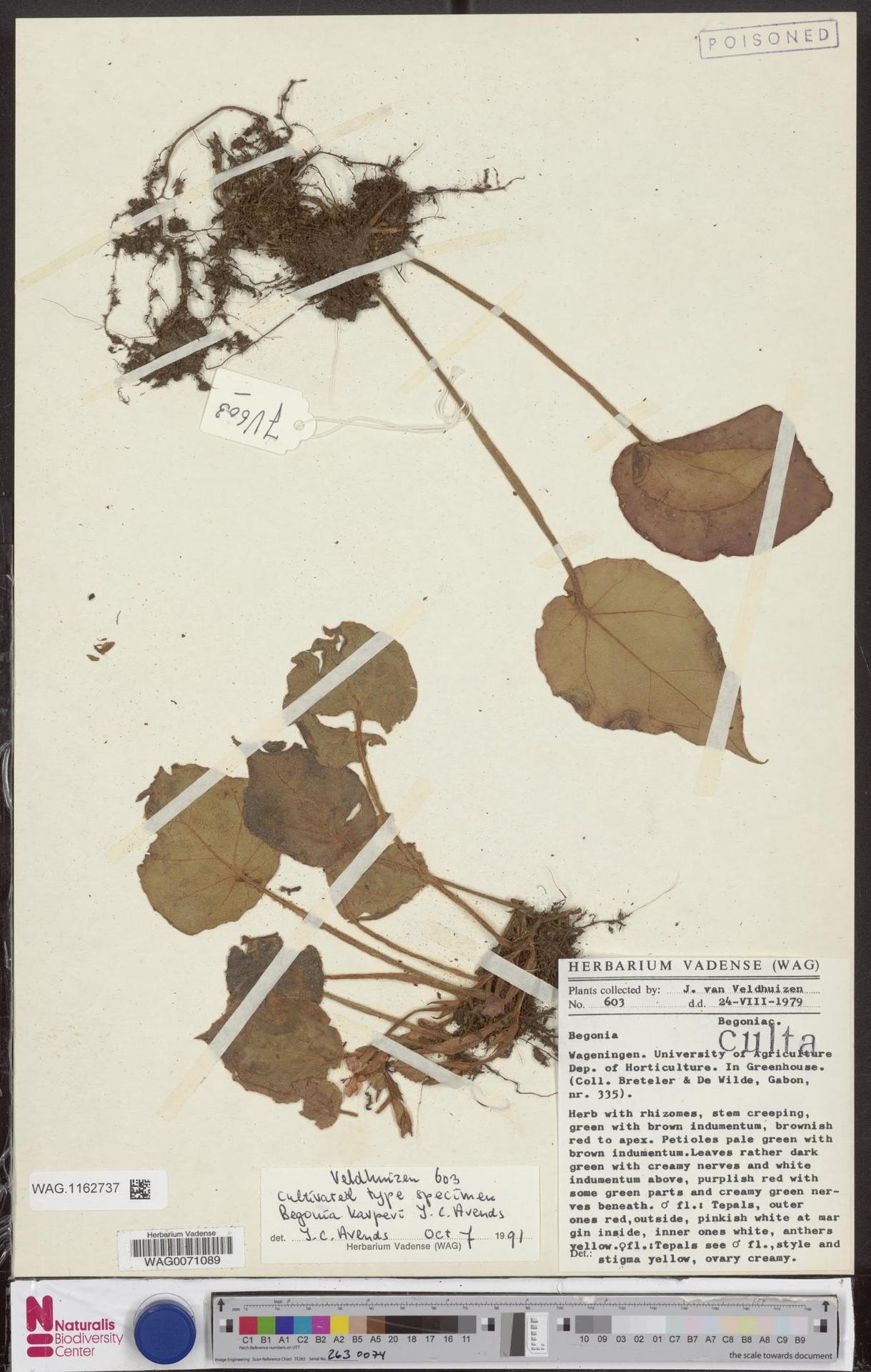 WAG.1162737 | Begonia karperi J.C.Arends