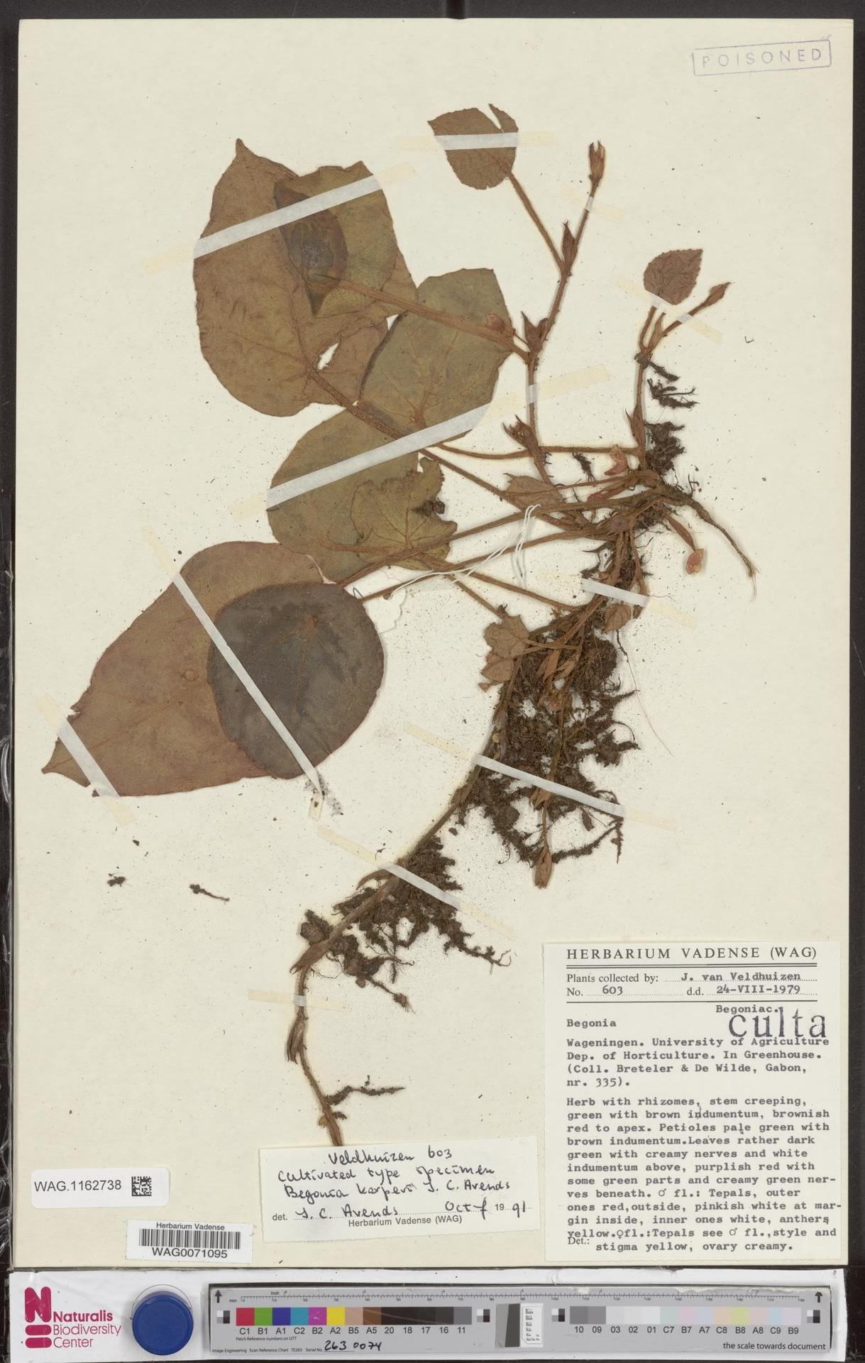 WAG.1162738 | Begonia karperi J.C.Arends