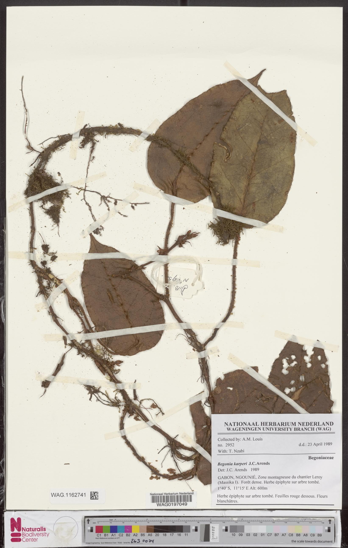 WAG.1162741 | Begonia karperi J.C.Arends