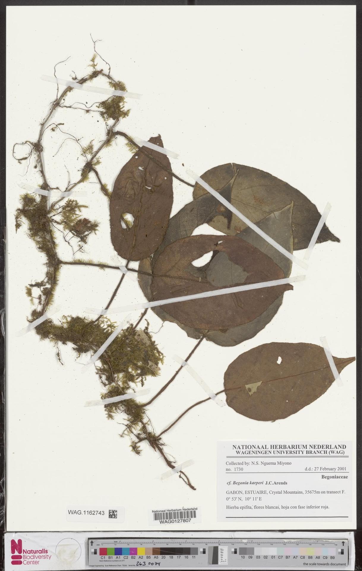 WAG.1162743 | Begonia karperi J.C.Arends