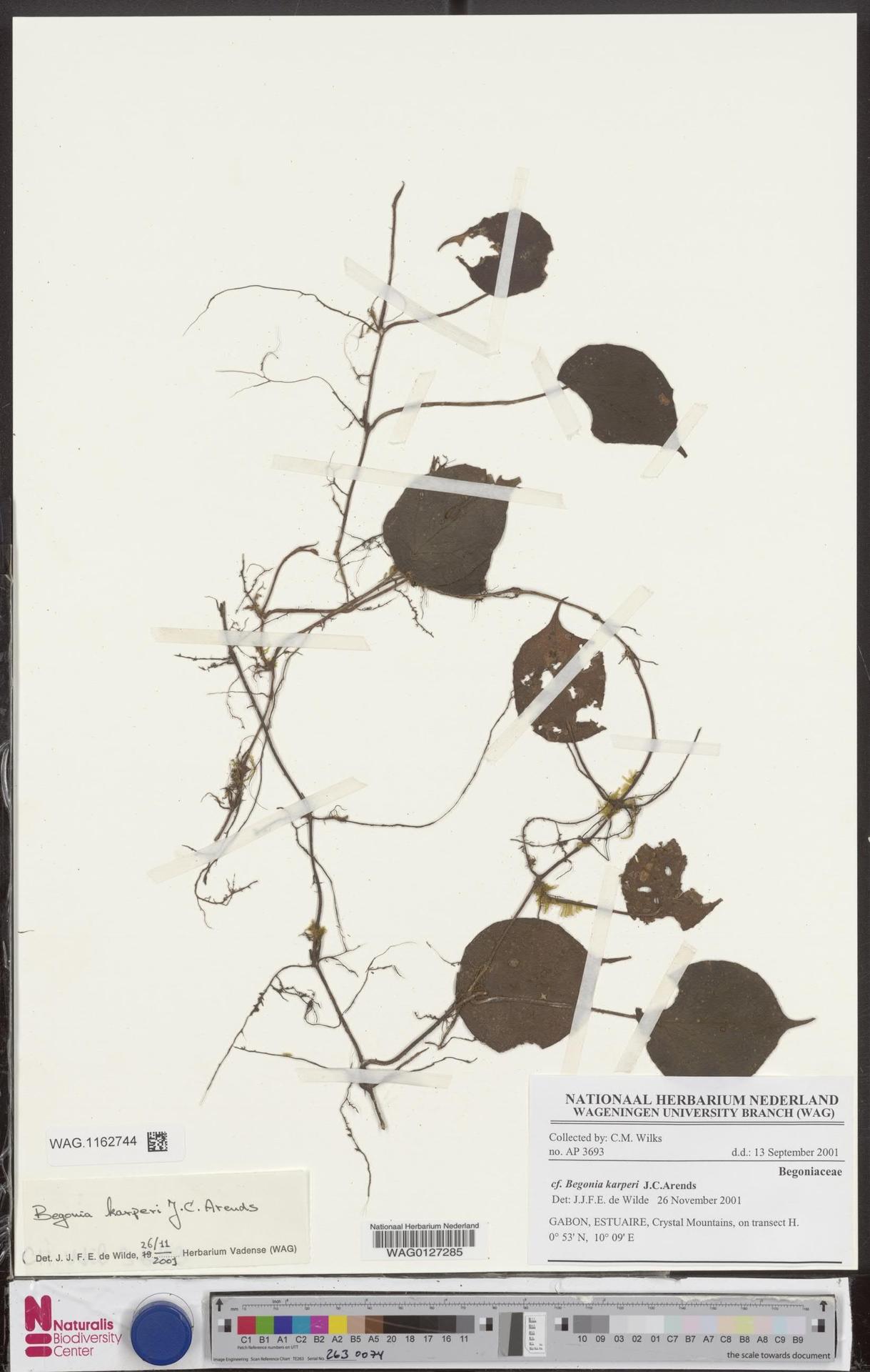 WAG.1162744 | Begonia karperi J.C.Arends