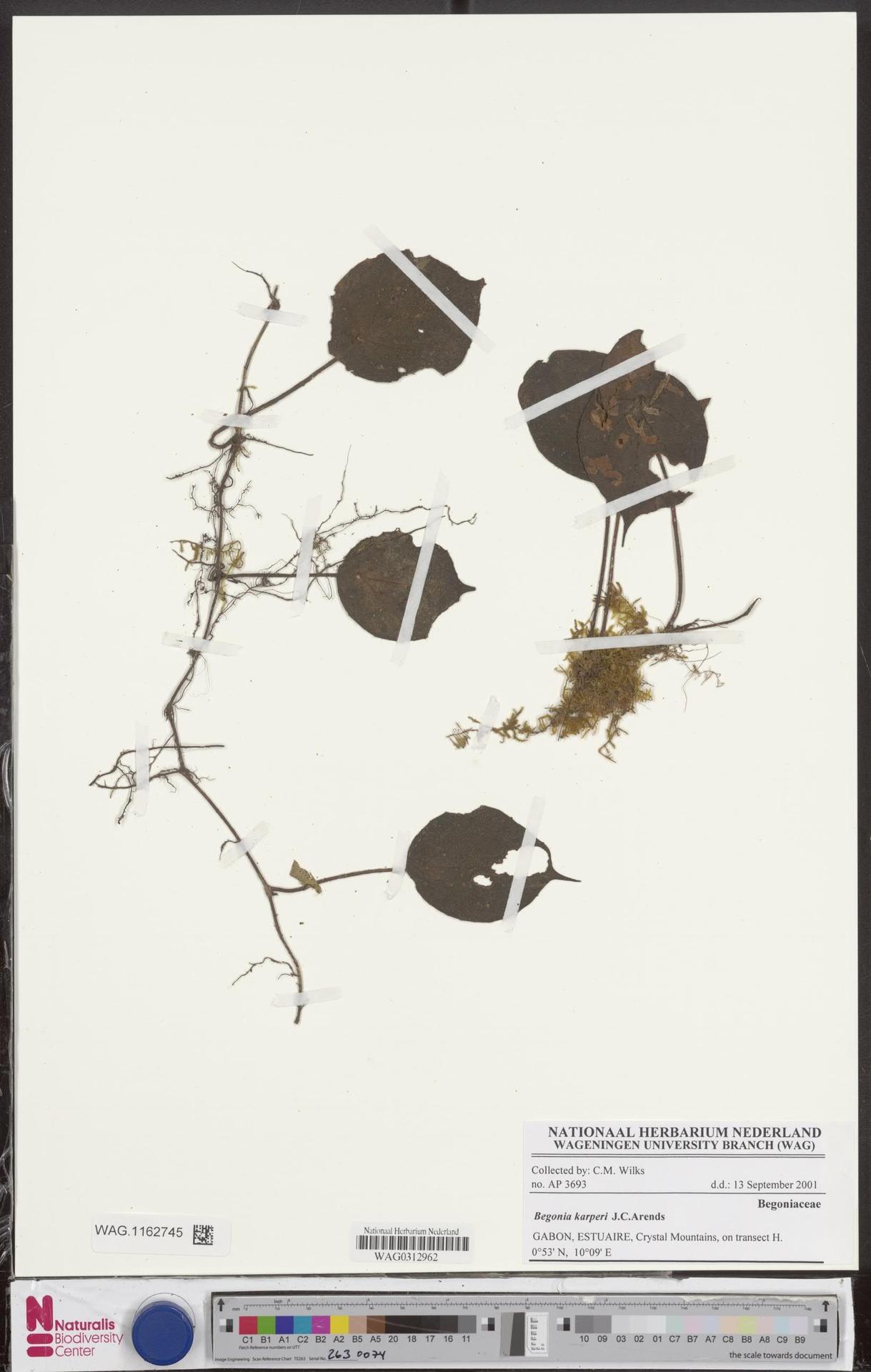 WAG.1162745 | Begonia karperi J.C.Arends