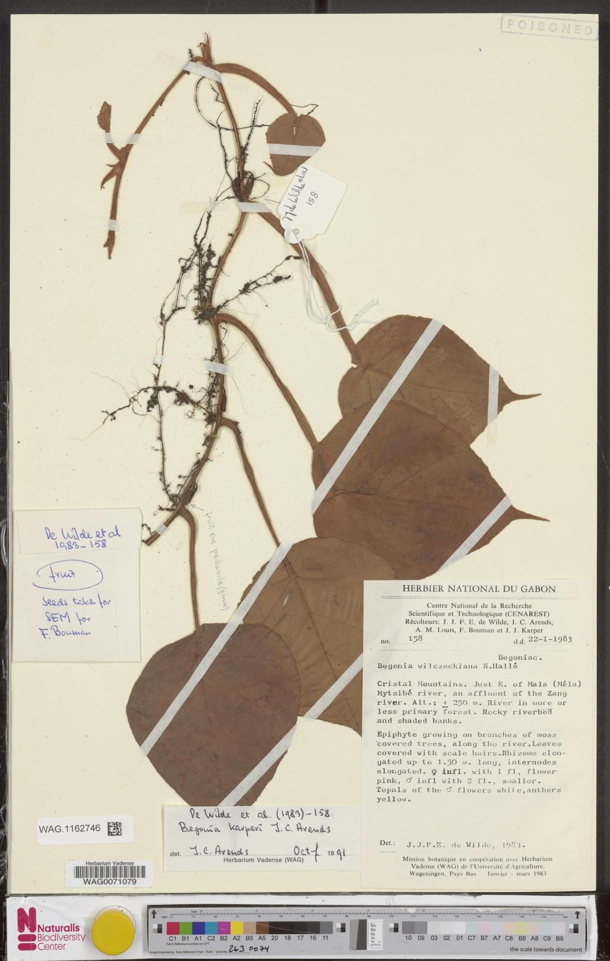 WAG.1162746 | Begonia karperi J.C.Arends