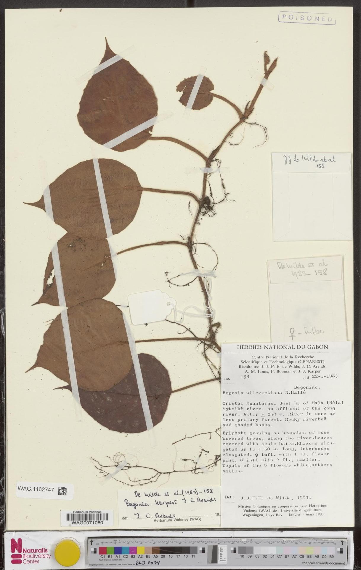 WAG.1162747 | Begonia karperi J.C.Arends