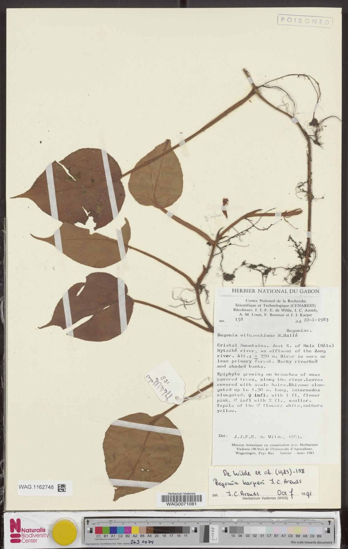 WAG.1162748 | Begonia karperi J.C.Arends