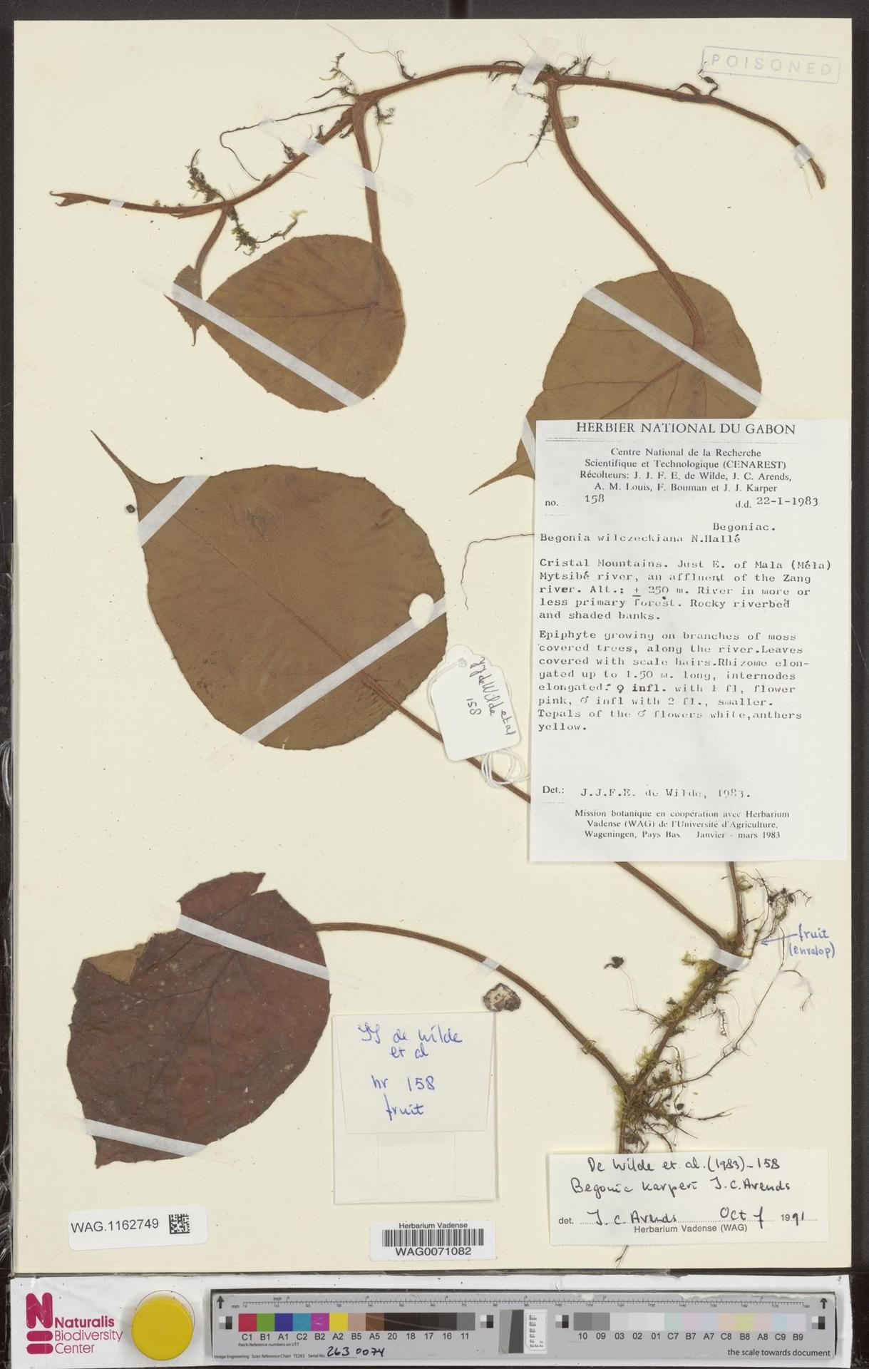 WAG.1162749 | Begonia karperi J.C.Arends