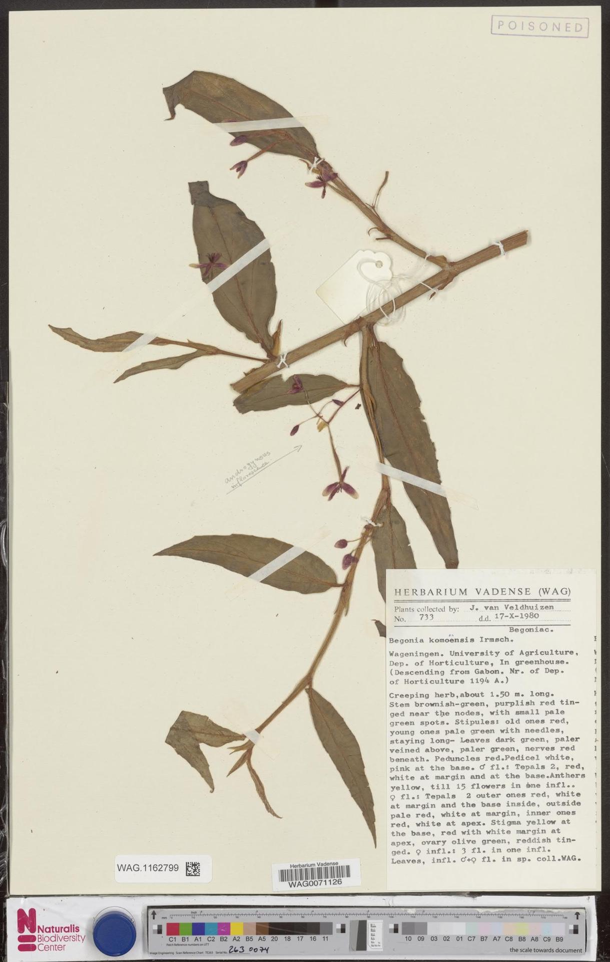 WAG.1162799 | Begonia komoensis Irmsch.