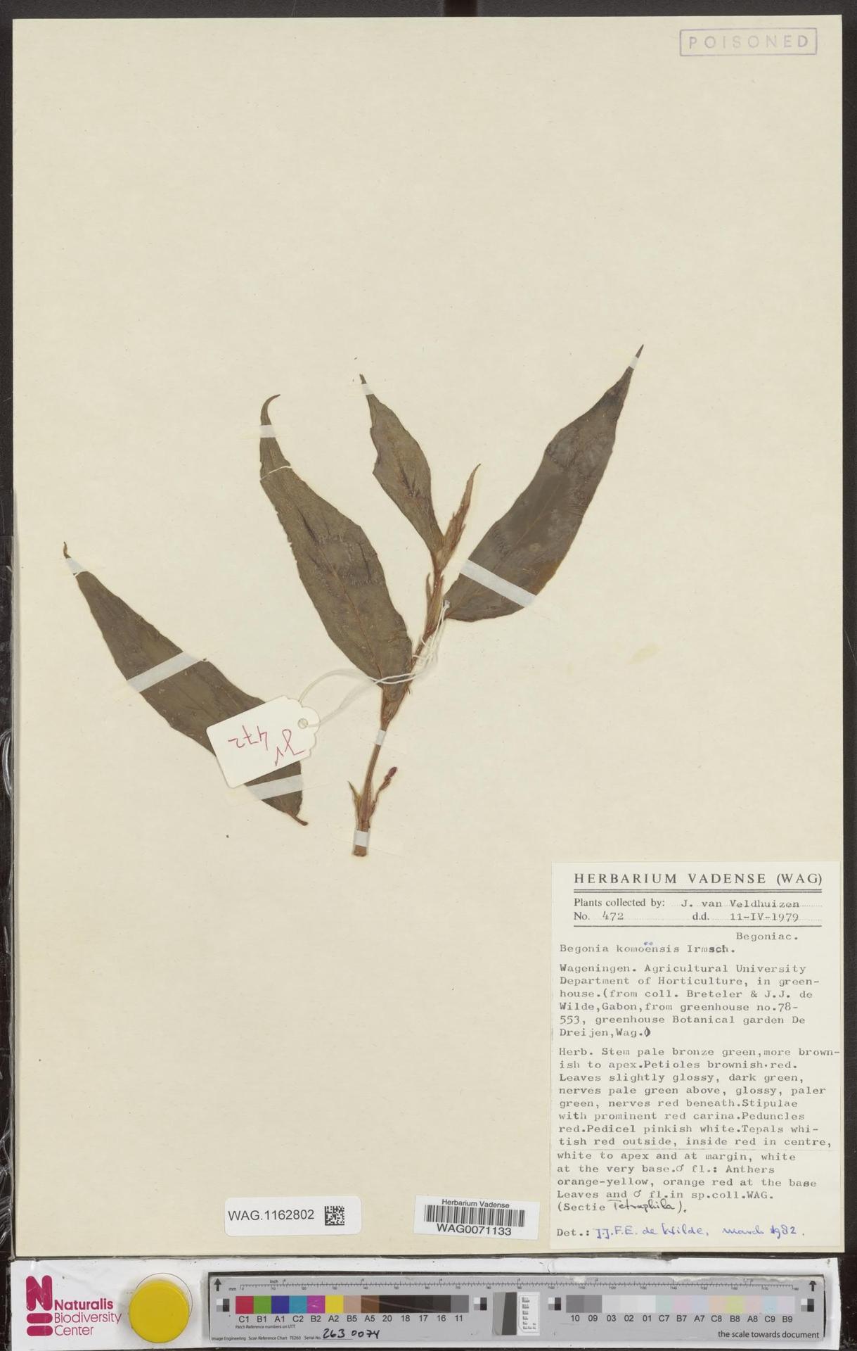 WAG.1162802 | Begonia komoensis Irmsch.