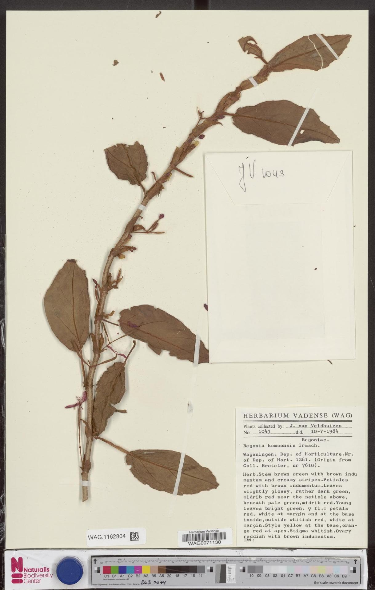 WAG.1162804 | Begonia komoensis Irmsch.