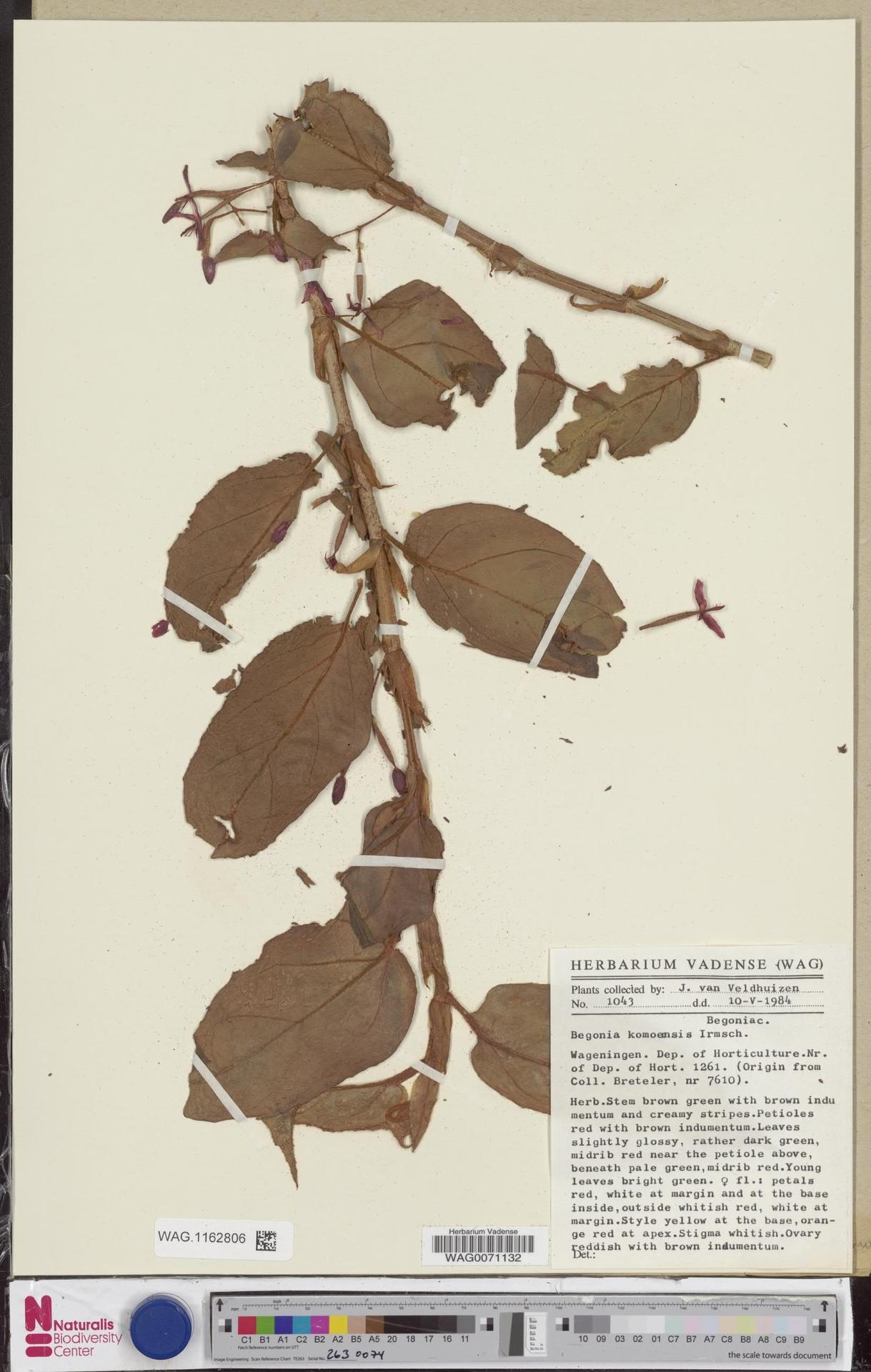 WAG.1162806 | Begonia komoensis Irmsch.