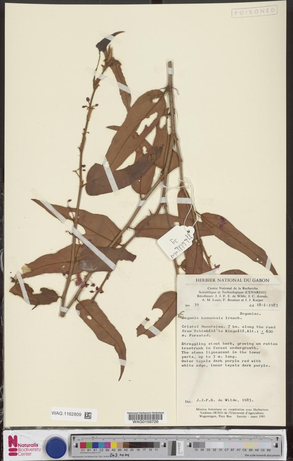 WAG.1162809 | Begonia komoensis Irmsch.