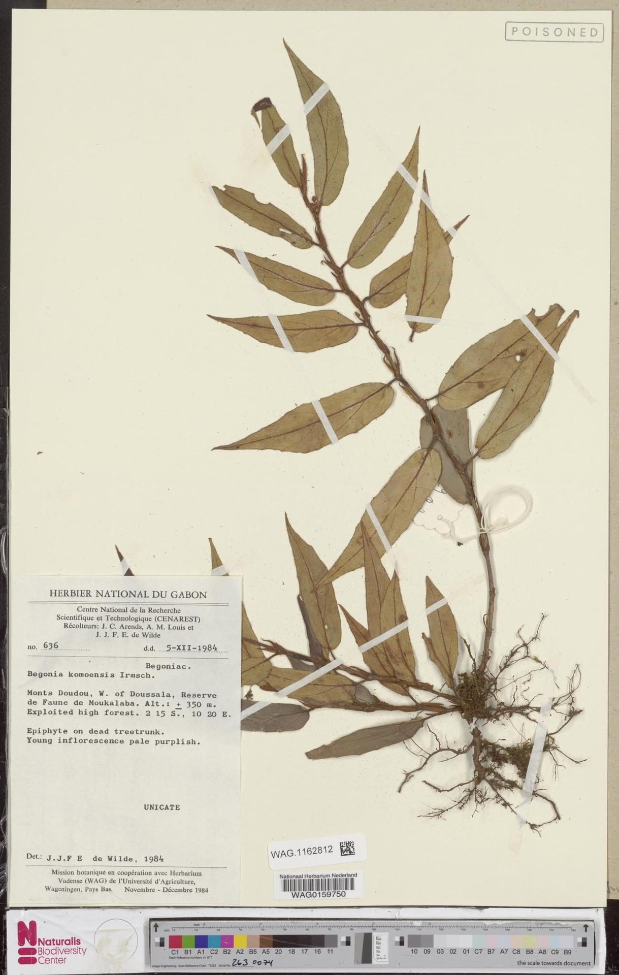 WAG.1162812 | Begonia komoensis Irmsch.