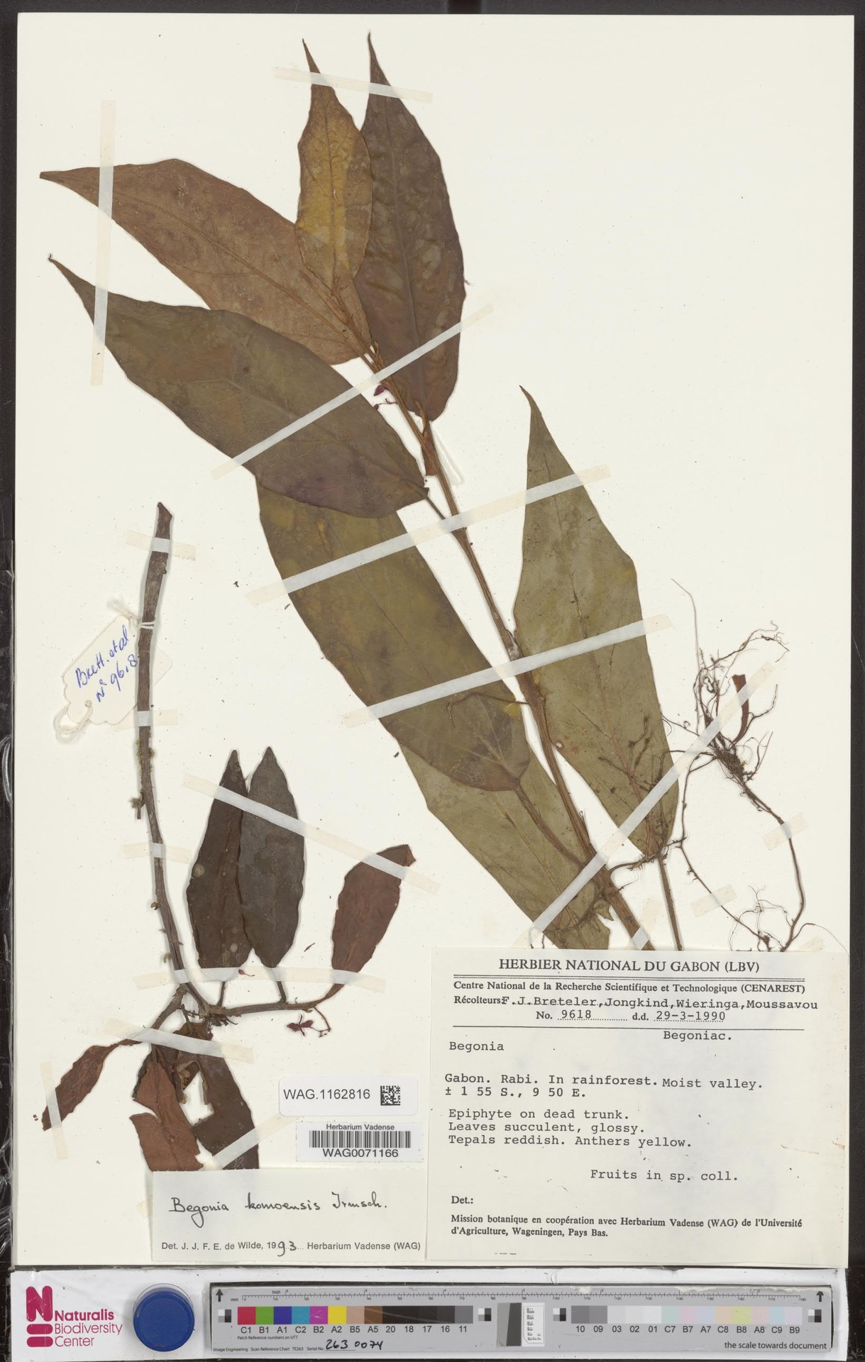 WAG.1162816 | Begonia komoensis Irmsch.