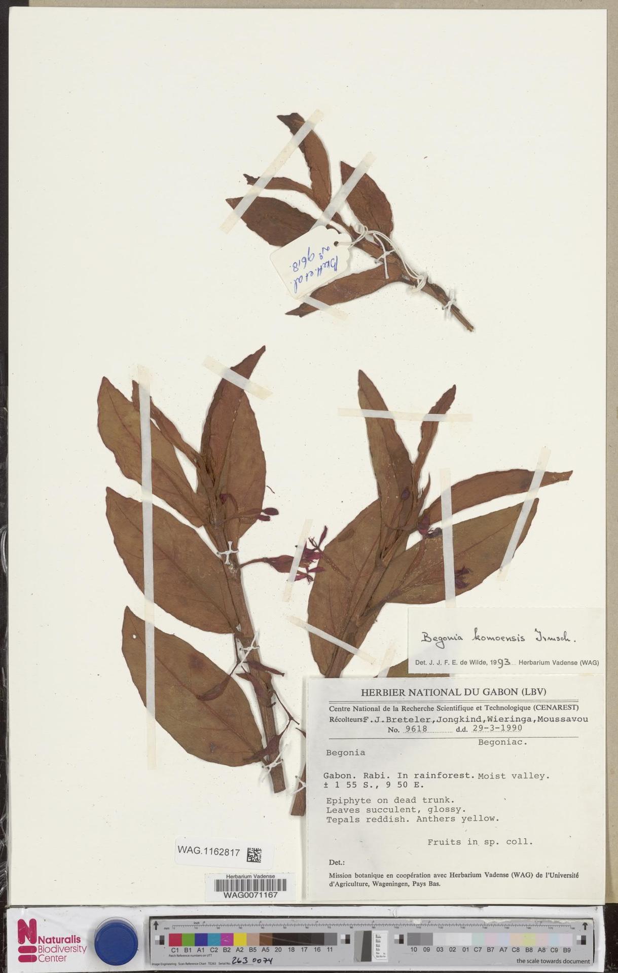 WAG.1162817 | Begonia komoensis Irmsch.