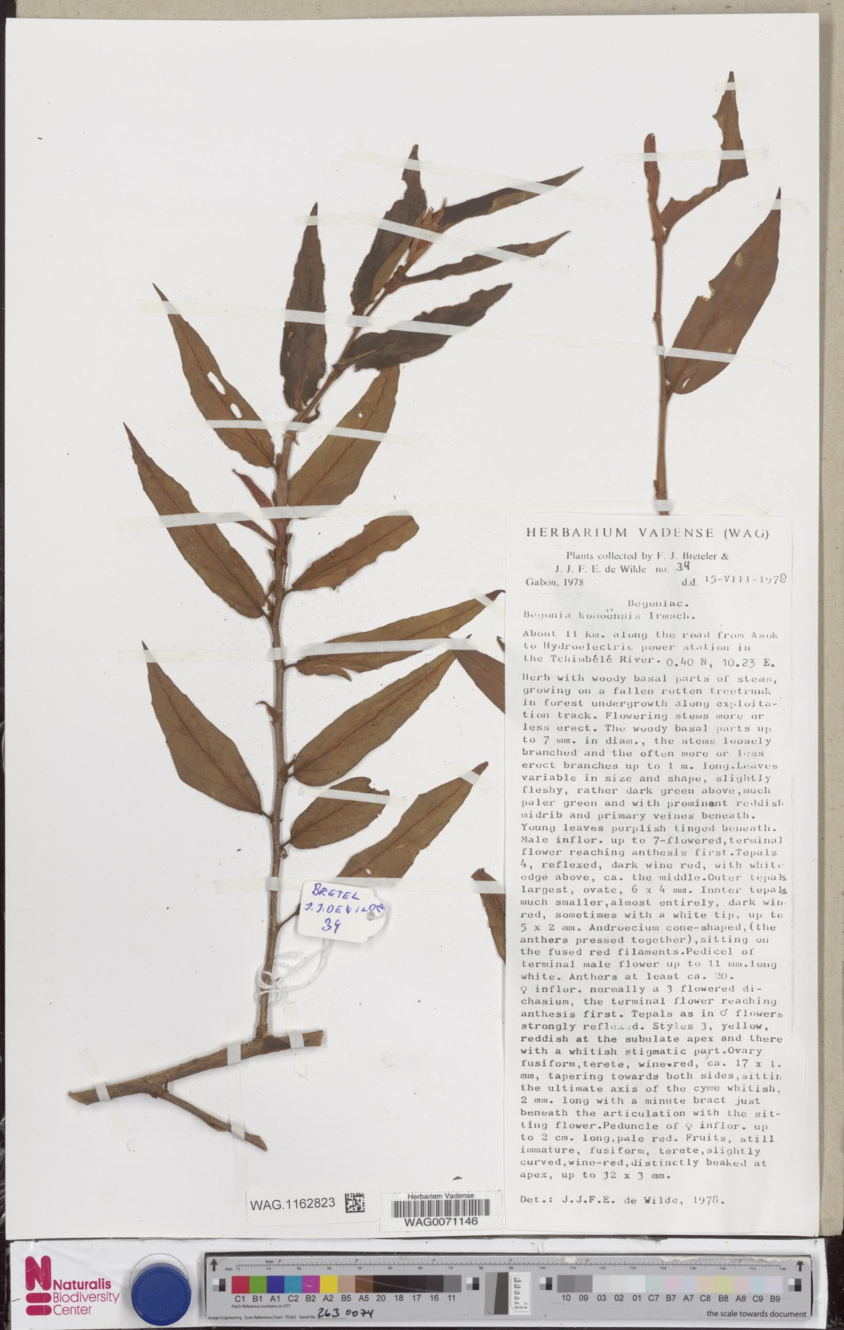 WAG.1162823 | Begonia komoensis Irmsch.