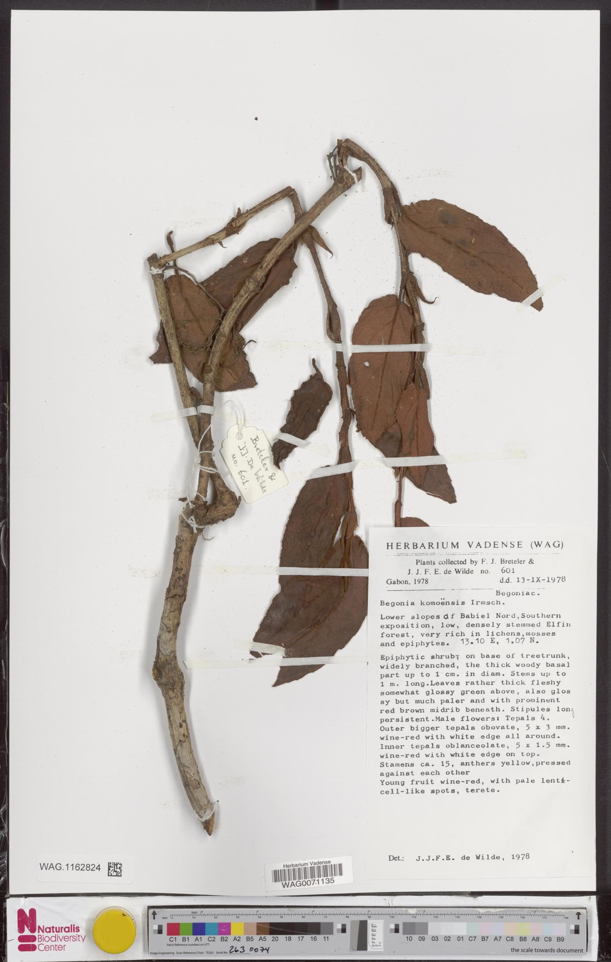 WAG.1162824 | Begonia komoensis Irmsch.