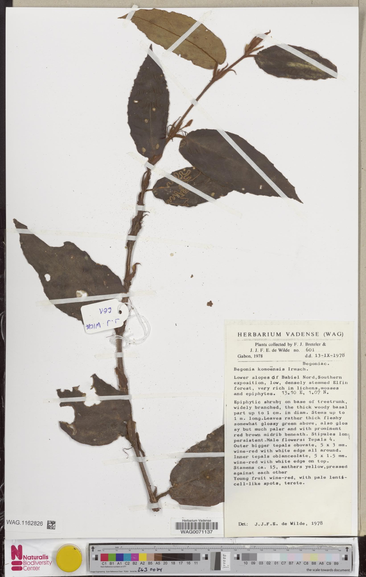 WAG.1162826   Begonia komoensis Irmsch.