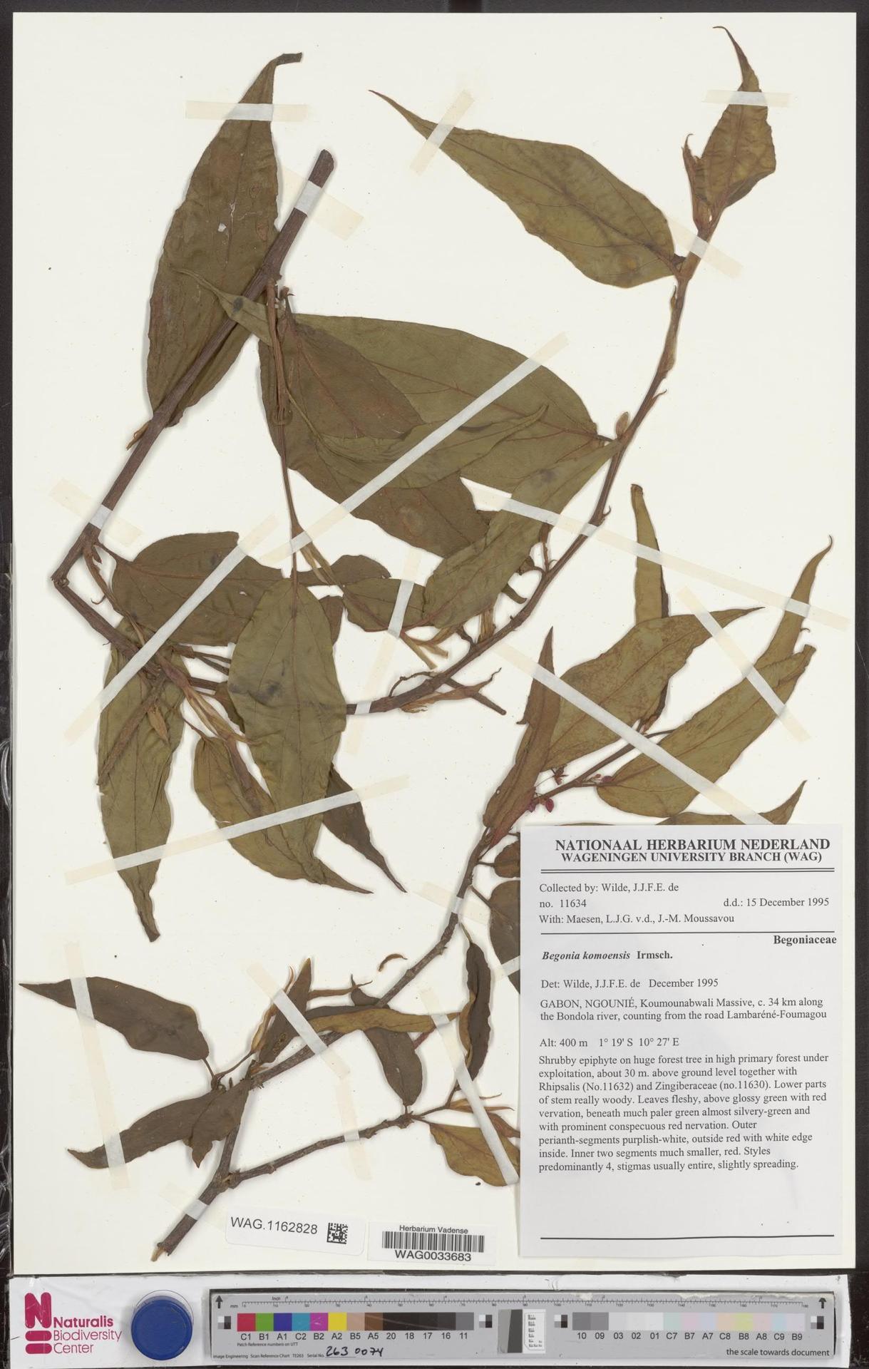 WAG.1162828   Begonia komoensis Irmsch.