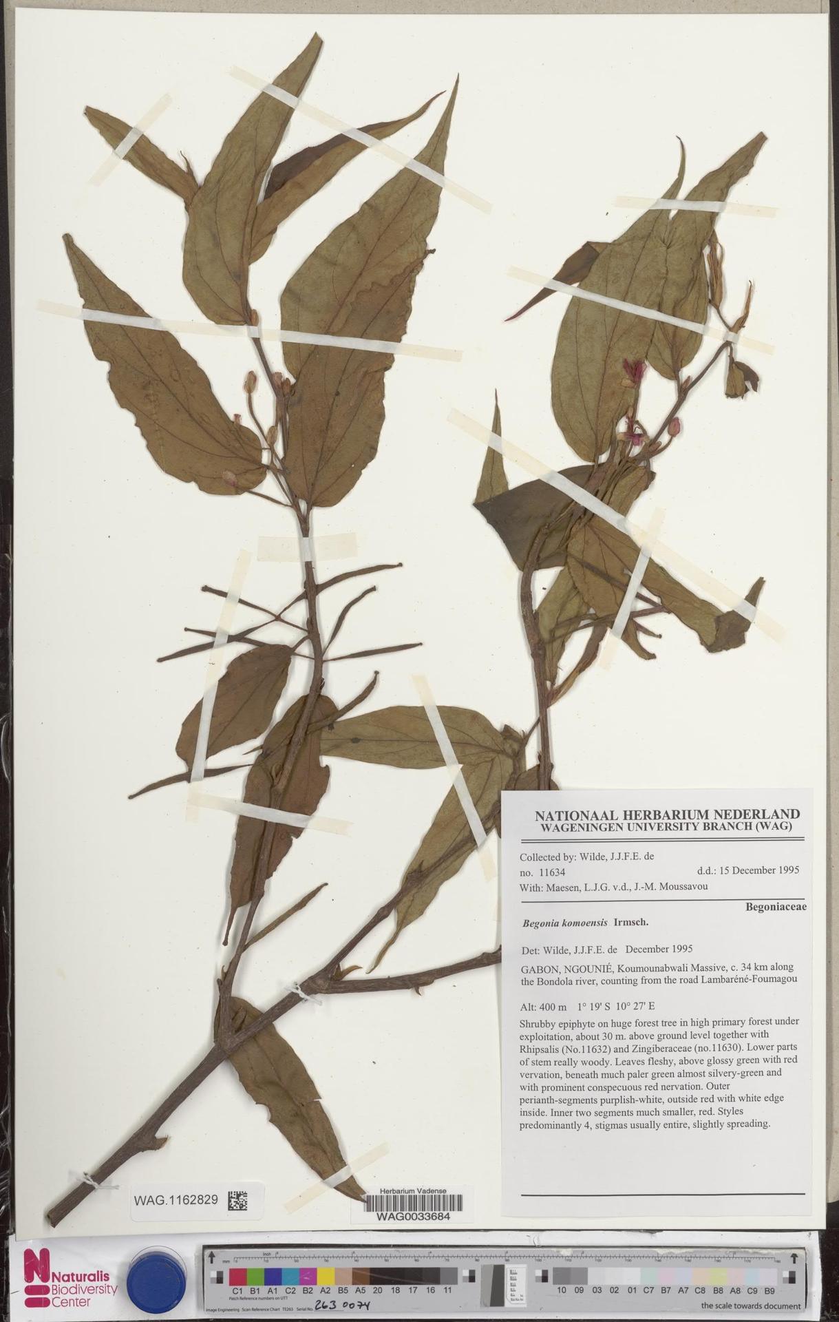 WAG.1162829   Begonia komoensis Irmsch.