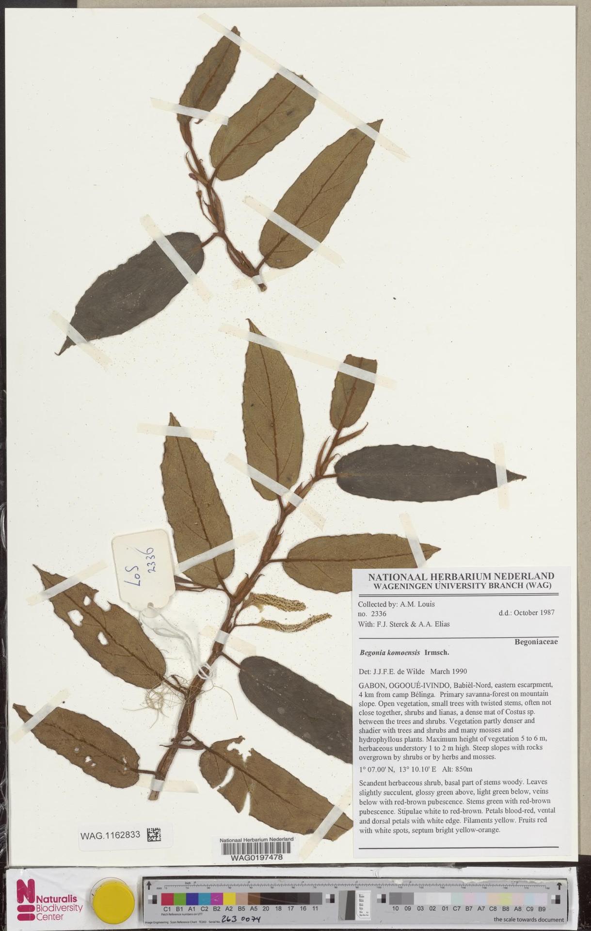 WAG.1162833   Begonia komoensis Irmsch.