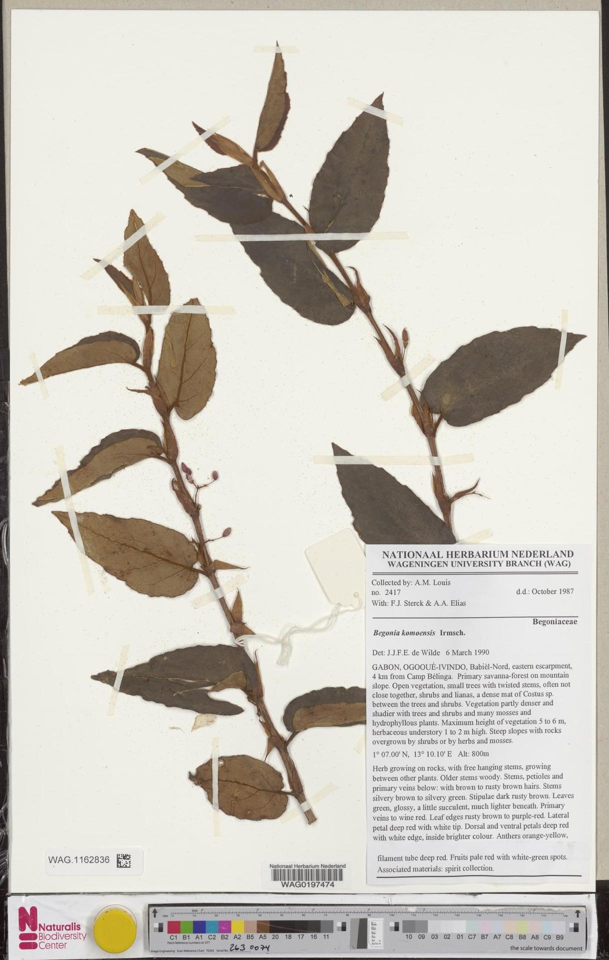 WAG.1162836   Begonia komoensis Irmsch.