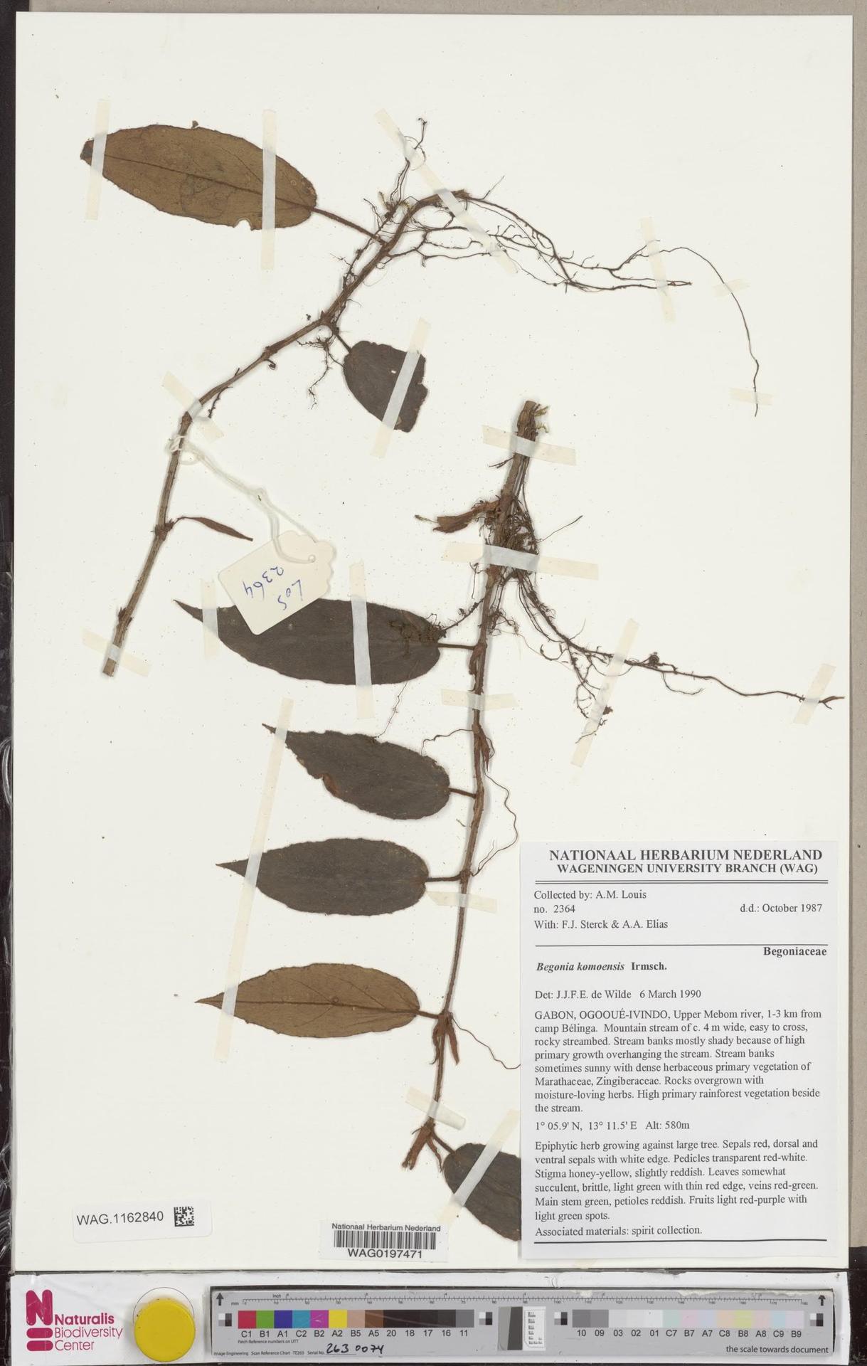 WAG.1162840 | Begonia komoensis Irmsch.