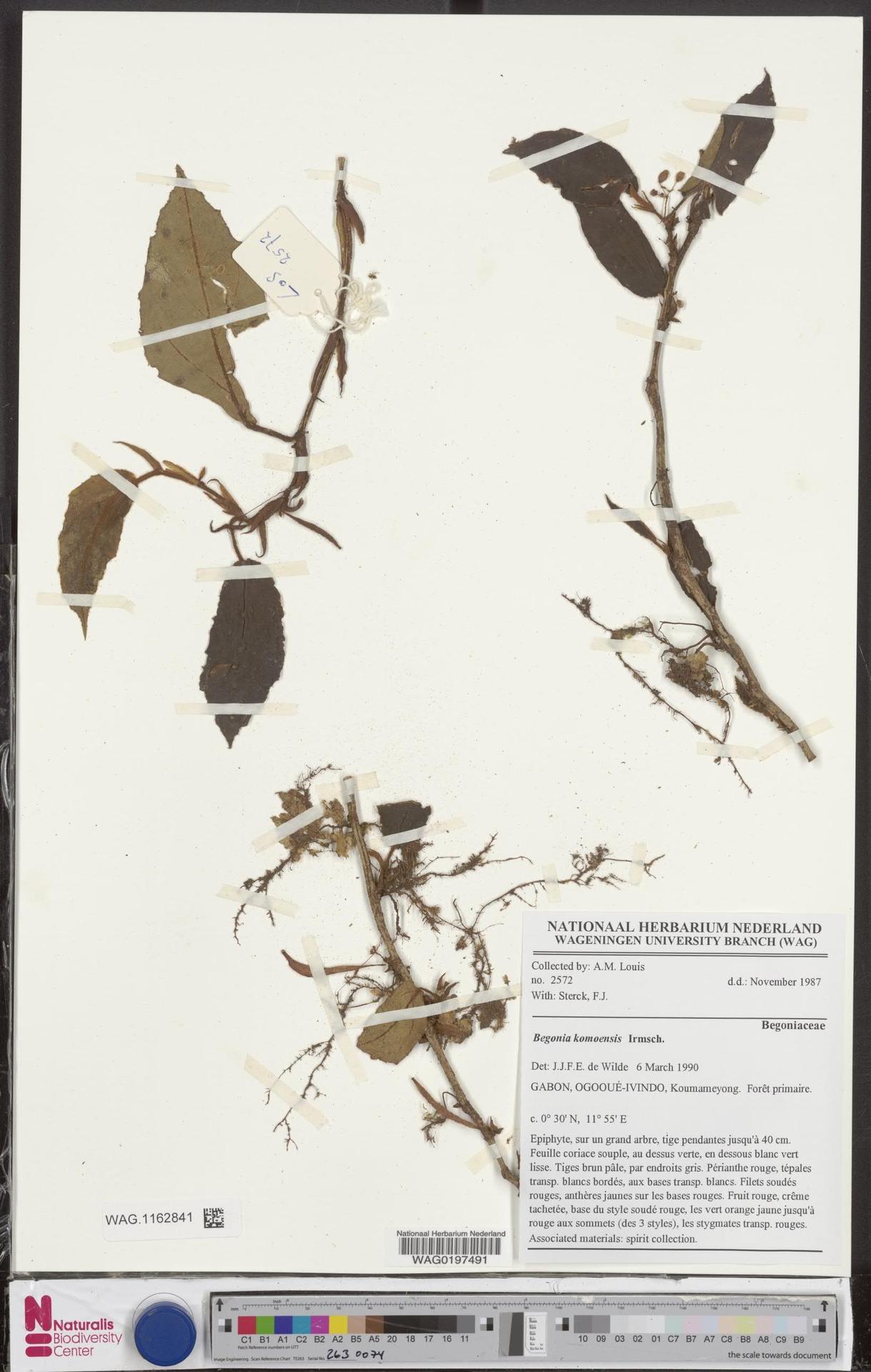 WAG.1162841 | Begonia komoensis Irmsch.