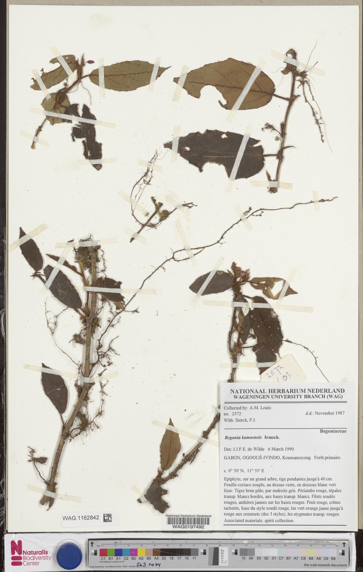 WAG.1162842 | Begonia komoensis Irmsch.