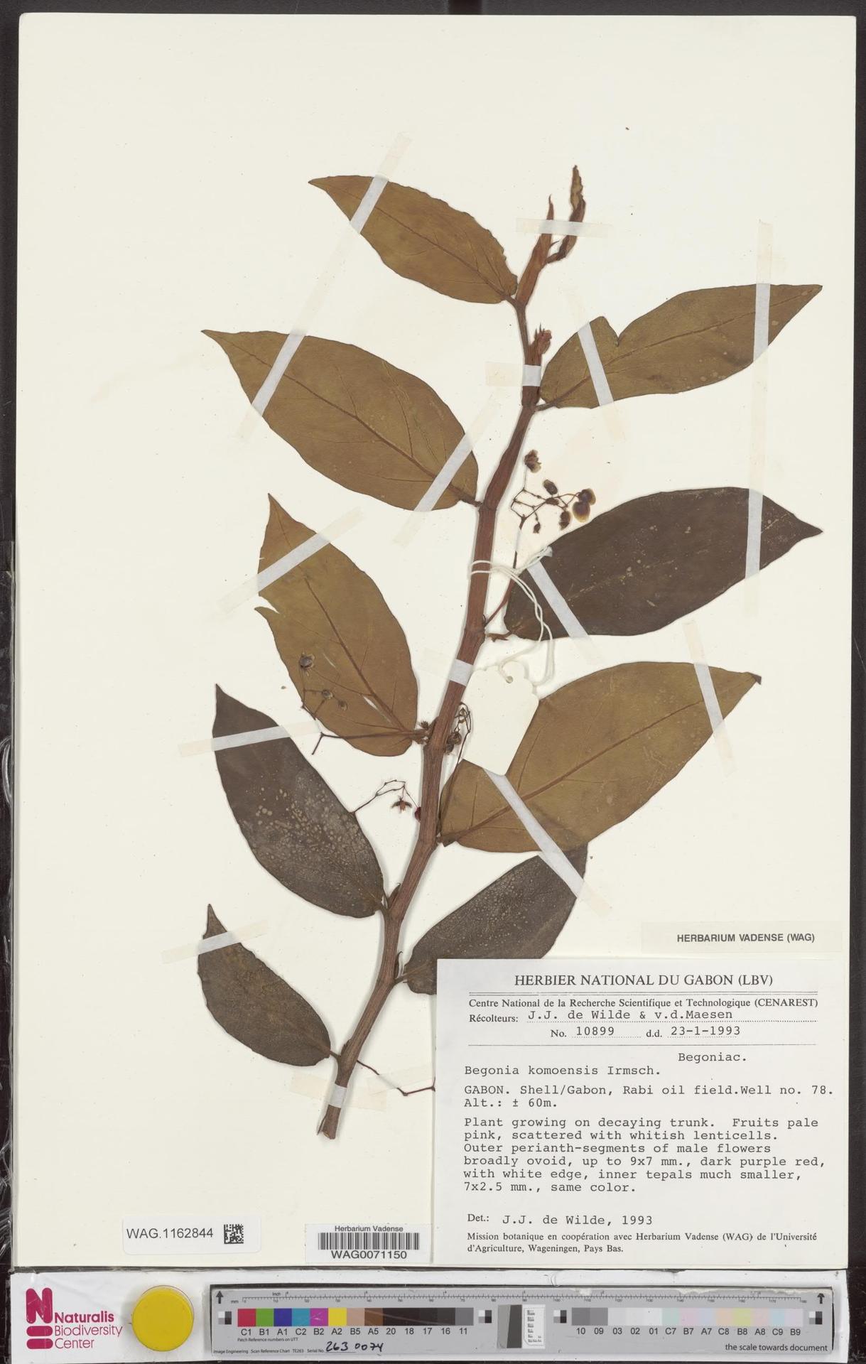 WAG.1162844   Begonia komoensis Irmsch.