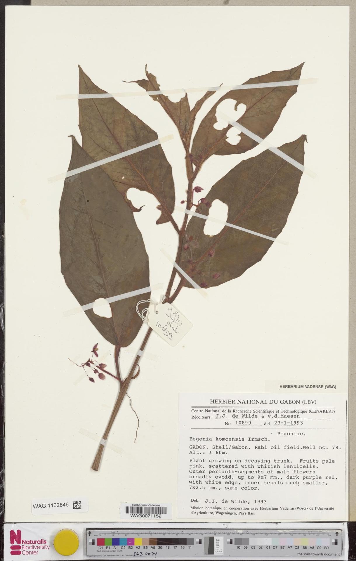 WAG.1162846 | Begonia komoensis Irmsch.